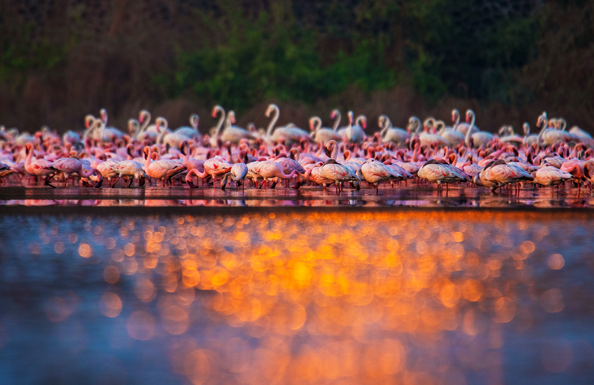 Lesser flamingos (in the foreground) are shorter and tinged with more red and pink than greater flamingos, whose plumage tends to be whiter. Photo: Sarang Naik