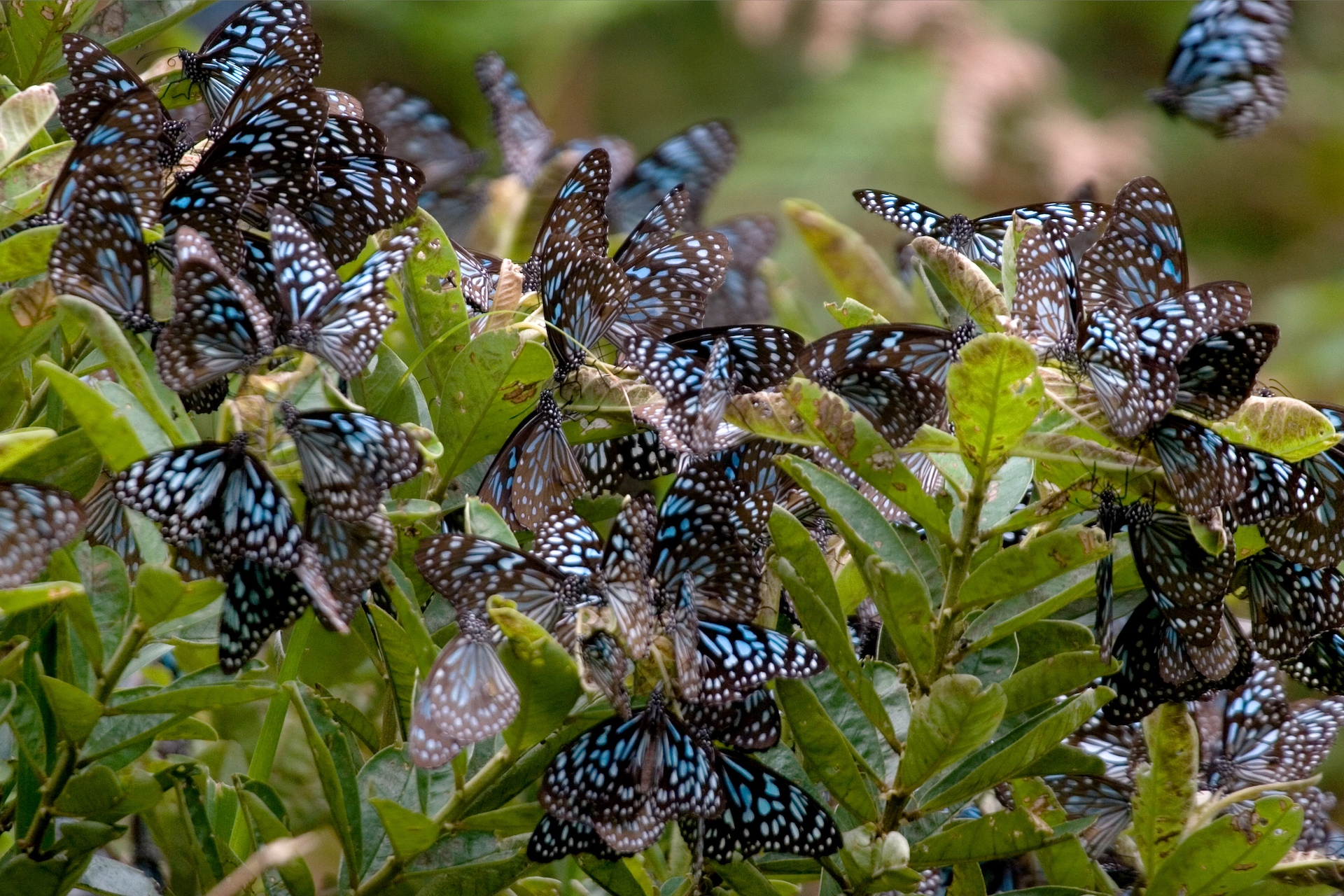 A haven for butterflies, including these blue tiger butterflies, the park harbours many threatened species of fauna. Photo: NP Jayan
