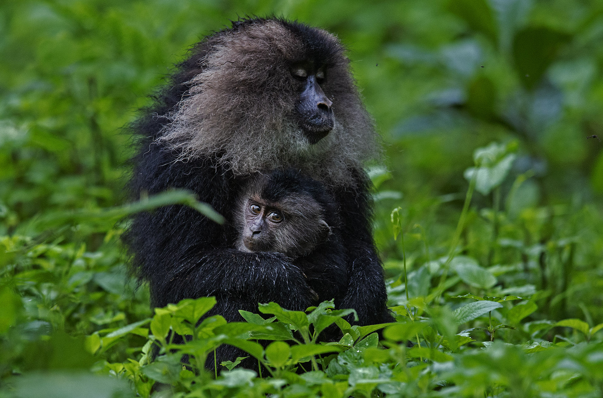 A female lion-tailed macaque carries her young wherever she goes. Females of this species will only bear two to three offspring in their entire lifetime. Photo: Dhritman Mukherjee