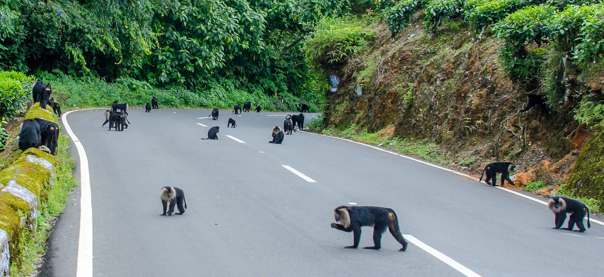 Lion-tailed macaques are social creatures that roam in troops of about 10-25, with a single dominant male. In isolated areas, however, researchers have noticed larger groups of 30-60 members that may have multiple males and females. Some posit that they may be seeking safety in numbers. In some parts of Kerala and Tamil Nadu, large troops can be seen near highways, scavenging for food to supplement their fast-disappearing traditional diets. 