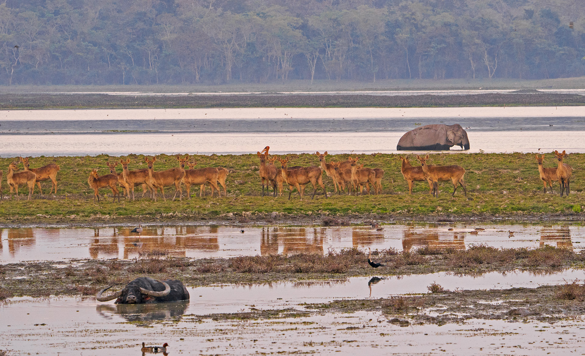 Kaziranga's swampy landscape is rich in wildlife. It provides shelter to a wide range of animals including the Asian elephant, wild water buffalo, hog deer, capped langur, hoolock gibbon, and gaur. Photo: Dhritiman Mukherjee