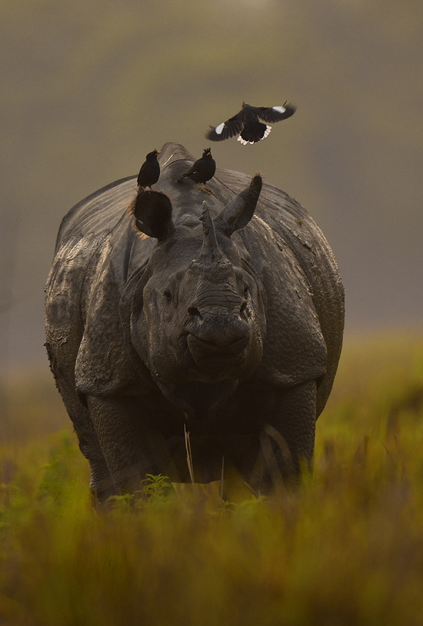 Hunted for its horn, the rhino was driven to the verge of extinction, with less than 200 left by the end of the 19th century. Conservation efforts have revived the species and brought their worldwide numbers to around 3,000 now — the bulk of them in Kaziranga, Assam and Chitwan, Nepal.  