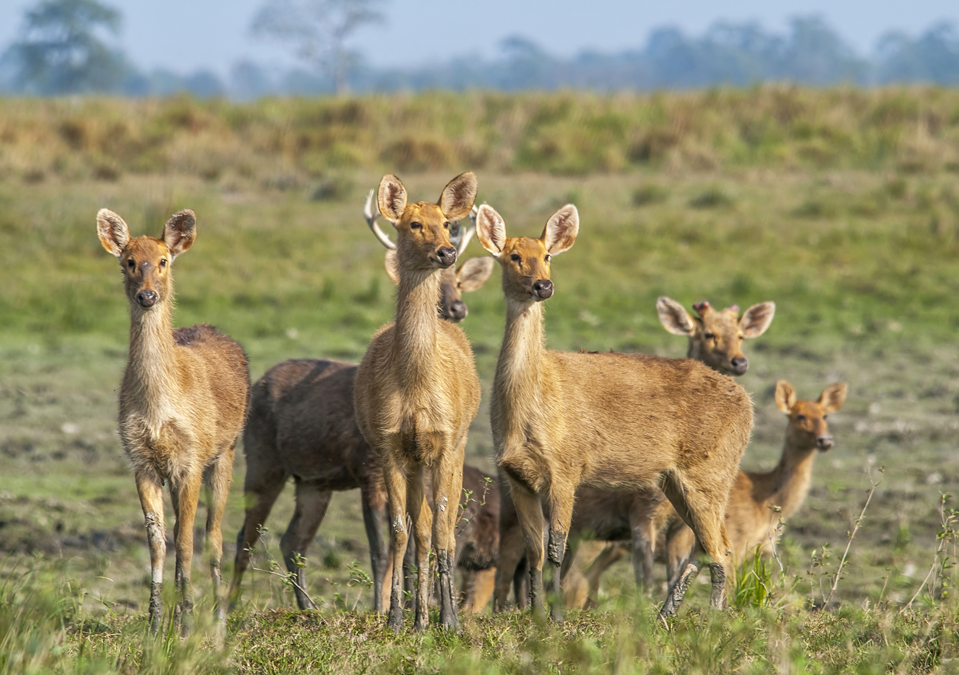 During the fawning season, eastern swamp deer congregate is separate herds — mothers and young ones stay together, while male adults move around in small groups of their own. Photo: Udayan Borthakur