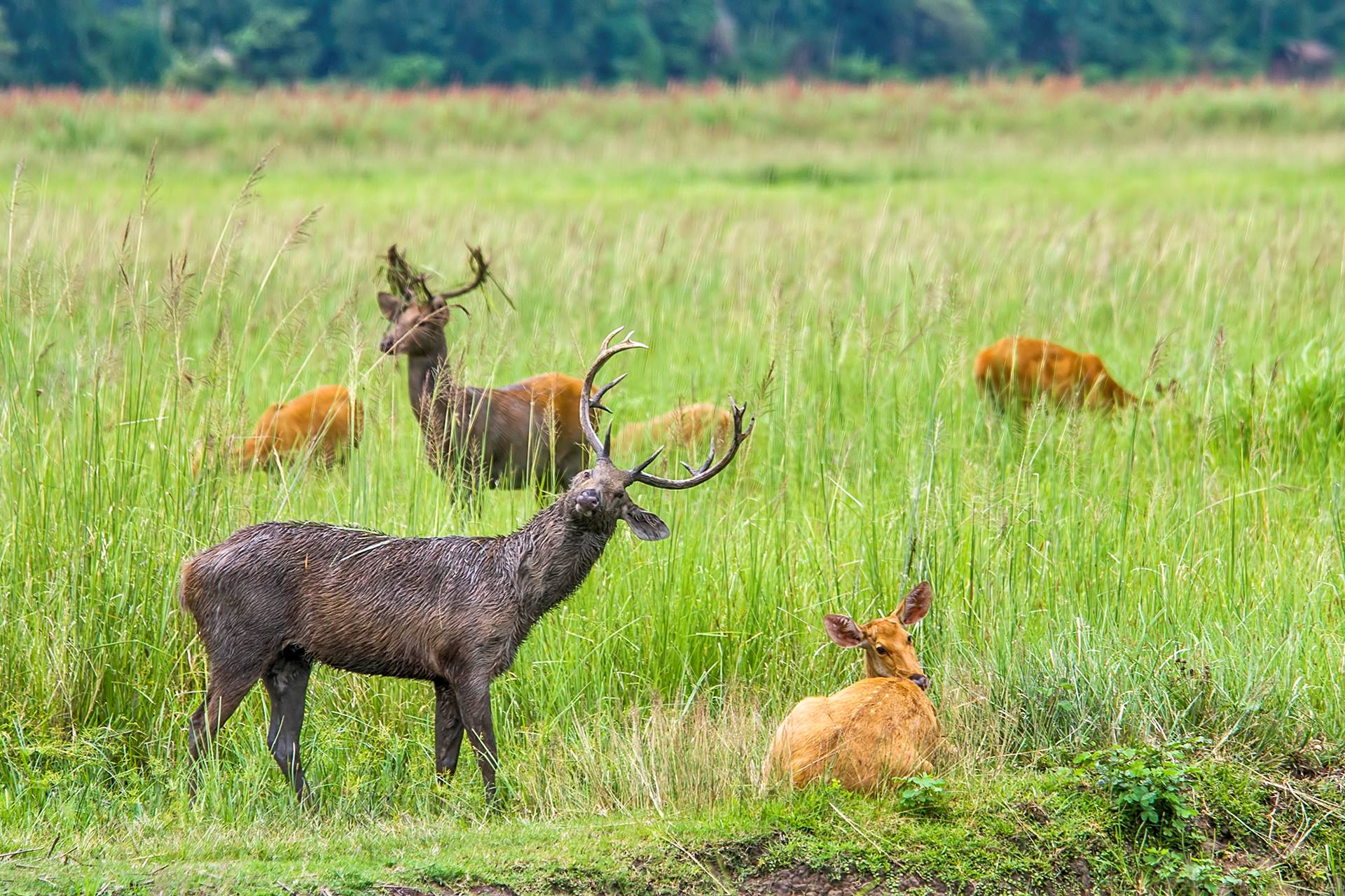 In winters, the male eastern swamp deer's reddish-golden coat turns a shabby grey-brown. Mature stags also grow a dark mane. Photo: Udayan Borthakur