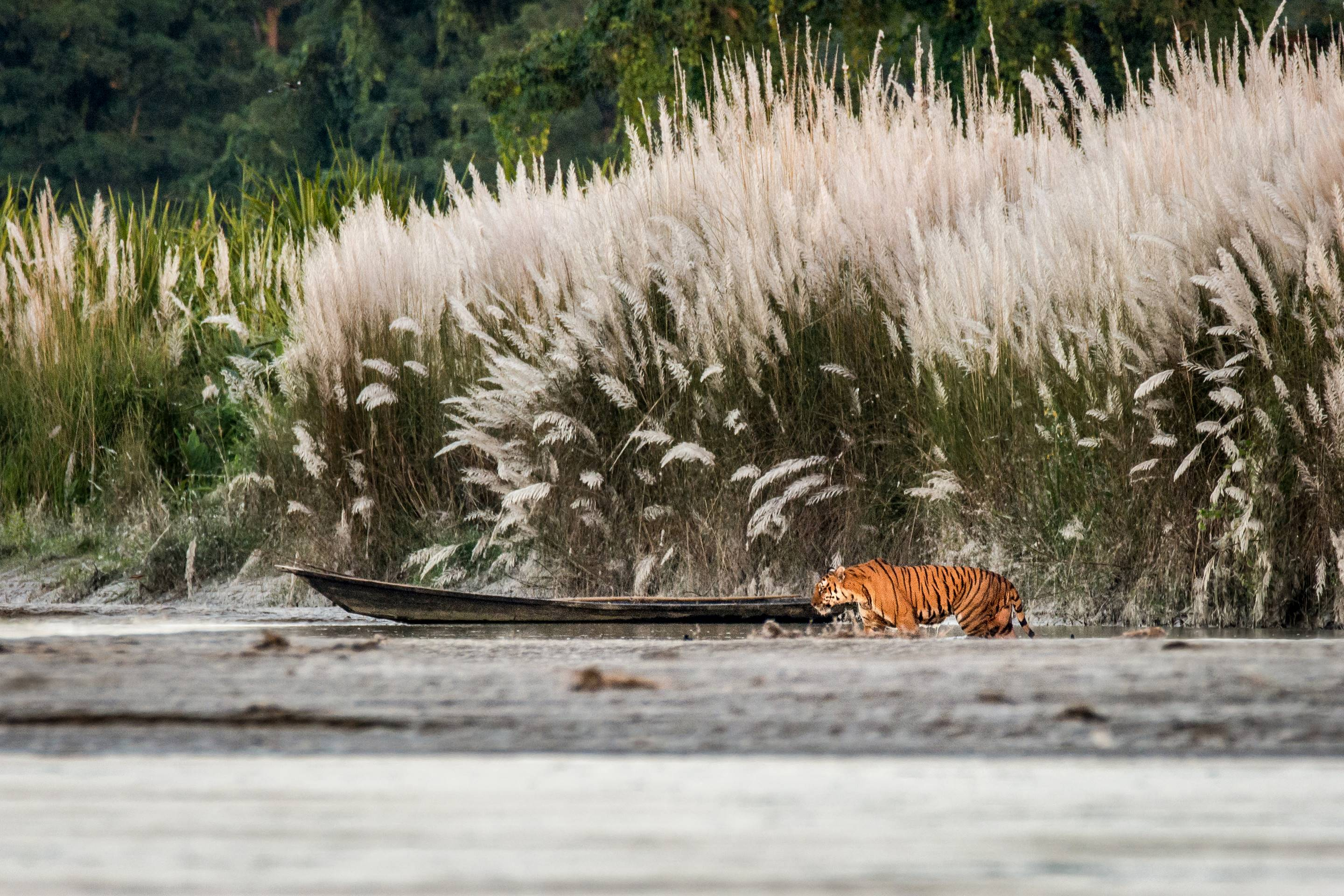 According to a census conducted in 2017, Kaziranga has the highest density of tigers in the country. However, spotting one of this elusive creatures in the tall grass is rare and a matter of chance.  Photo: Nejib Ahmed