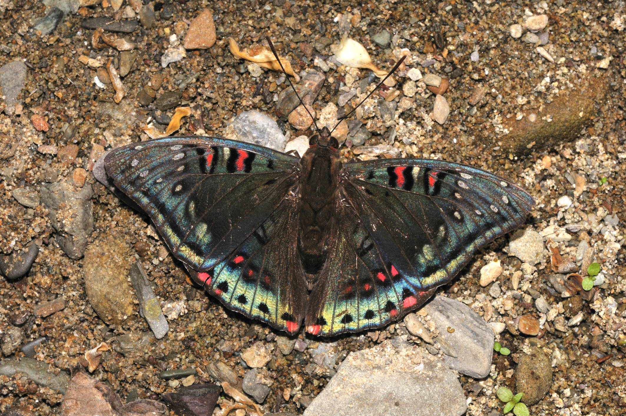 Iridescence on its upper side gives the gaudy baron (Euthalia lubentina) a stunning hue that allows it to stand out on the forest floor. Photo: Sanjay Sondhi