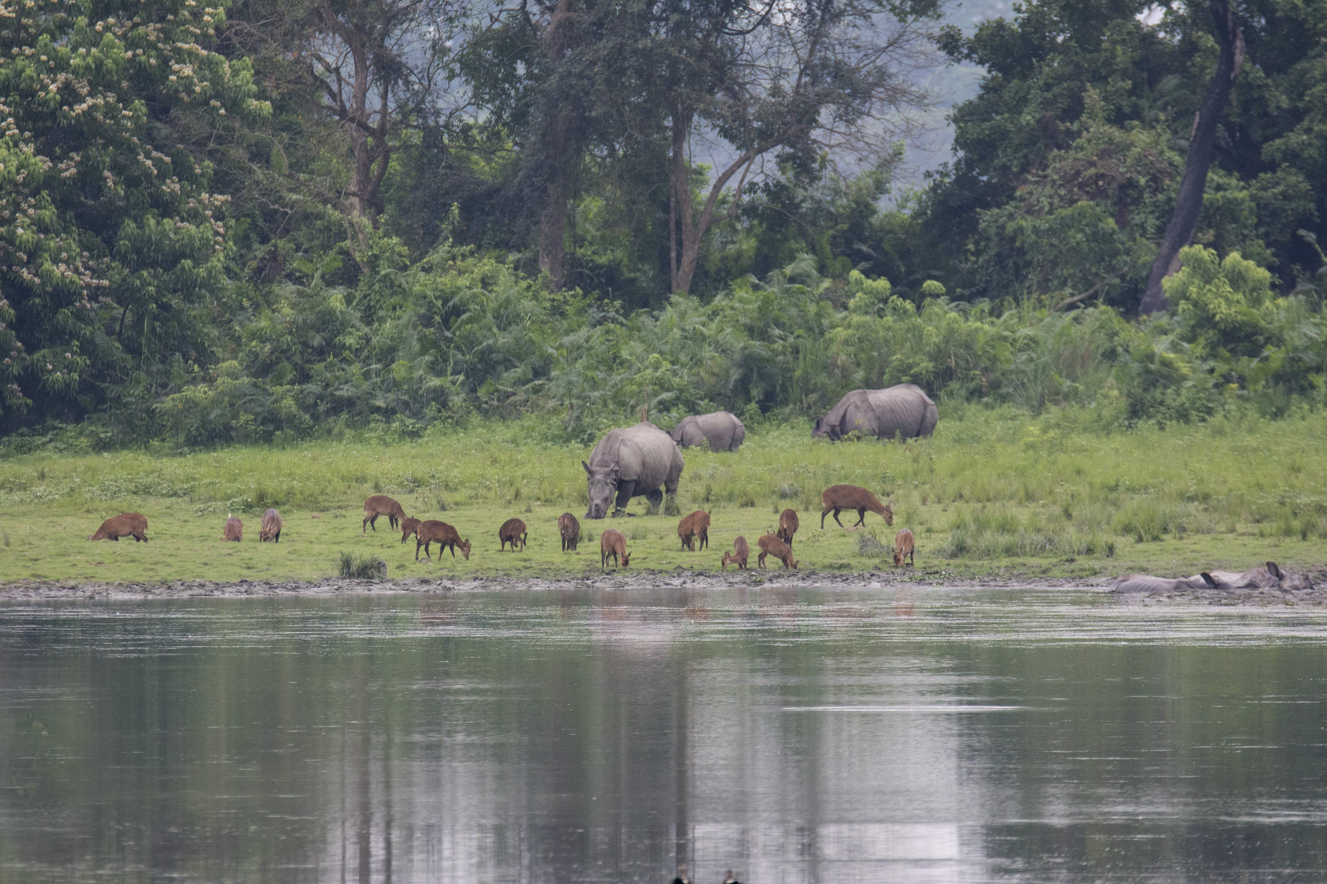 The greater one-horned rhino's habitat extends across man-made, political borders. New initiatives aim at opening corridors across national boundaries, especially between India and Nepal, and protecting the species through collaborating on research and sharing knowledge. Photo: Nejib Ahmed