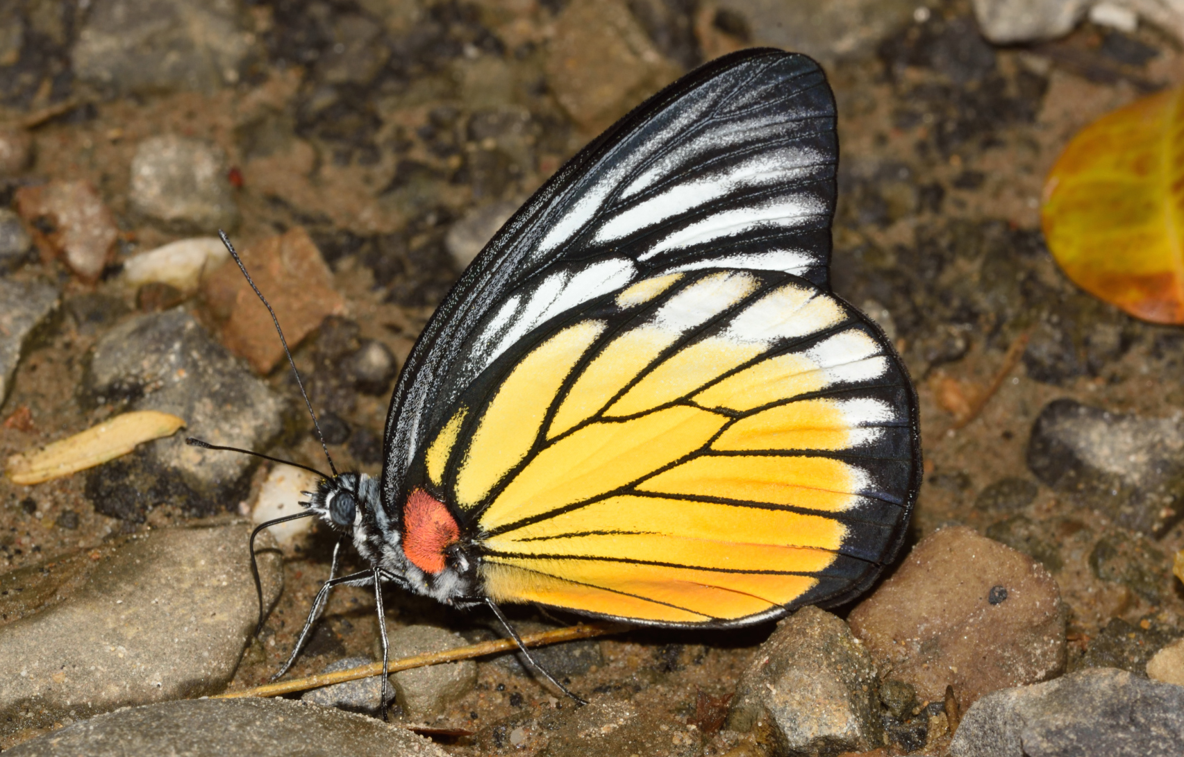 Butterflies such as this red-spot sawtooth mimic the red-spot jezebel's vivid colouration and slow flight pattern, which is a very effective deterrent against predators. Photo: Sanjay Sondhi