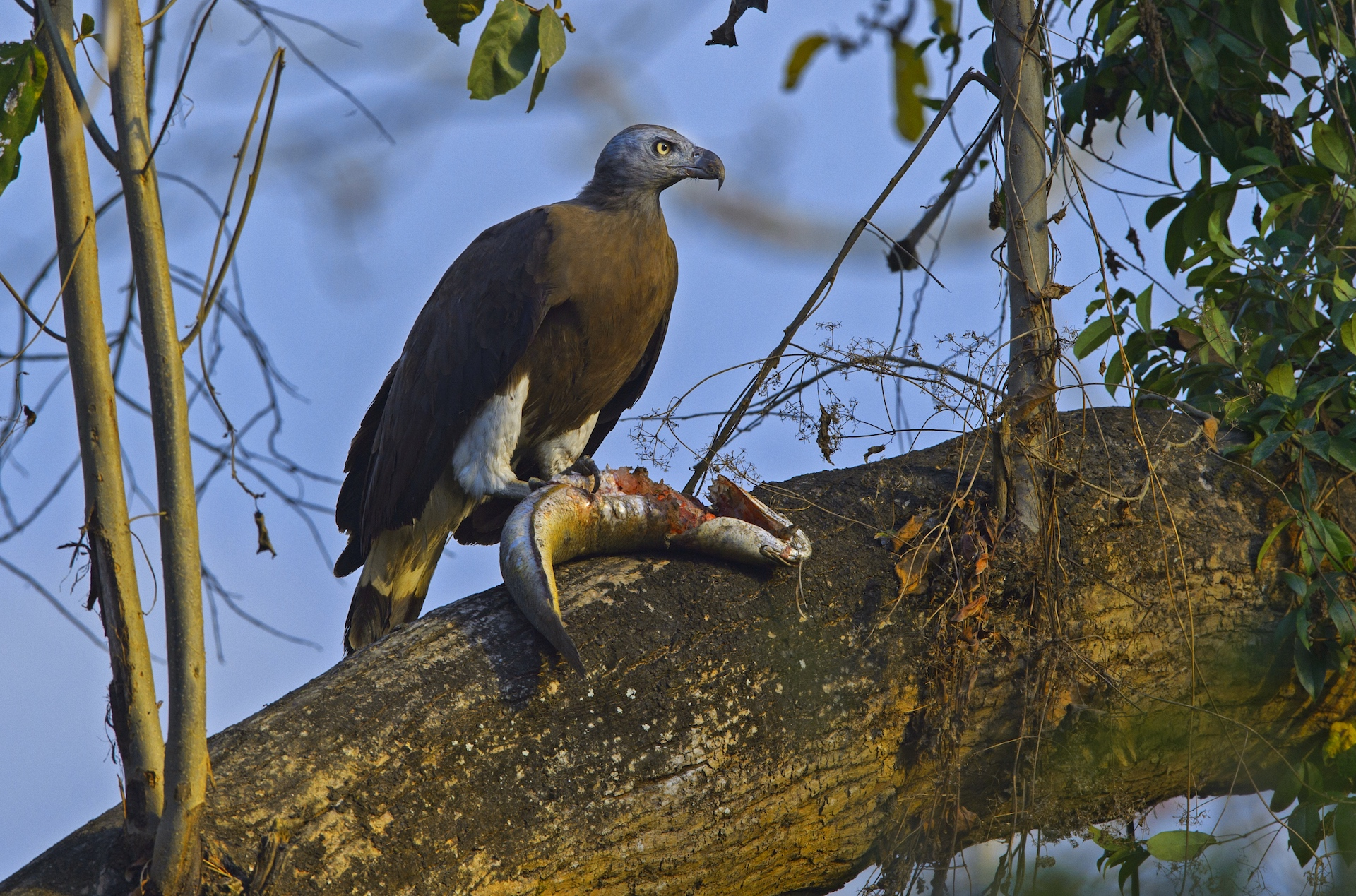 Once a fish is caught, the eagle will carry it to a nearby tree or the banks of the waterbody to devour it. Photo: Dhritiman Mukherjee