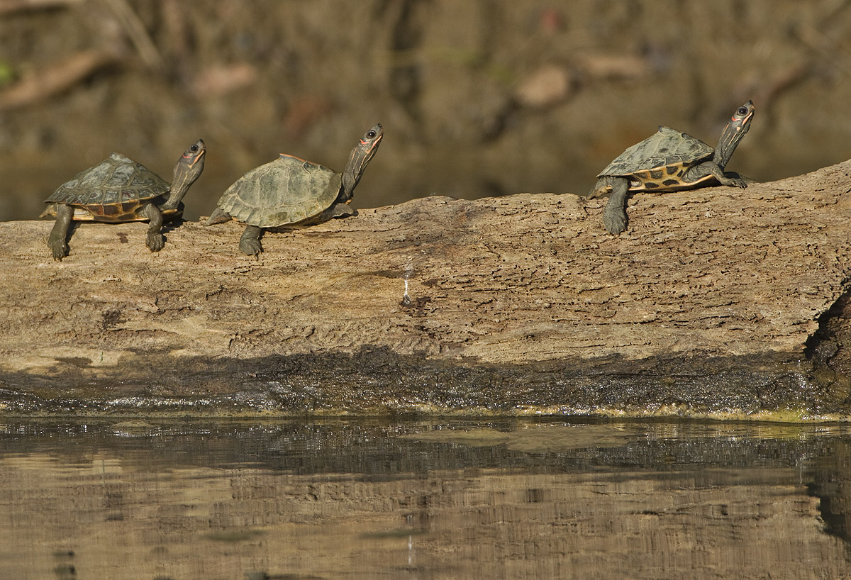 In Kaziranga National Park the Assam roofed turtle is often spotted basking in the sun perched on logs, on muddy, slow moving river channels. Photo: Dhritiman Mukherjee