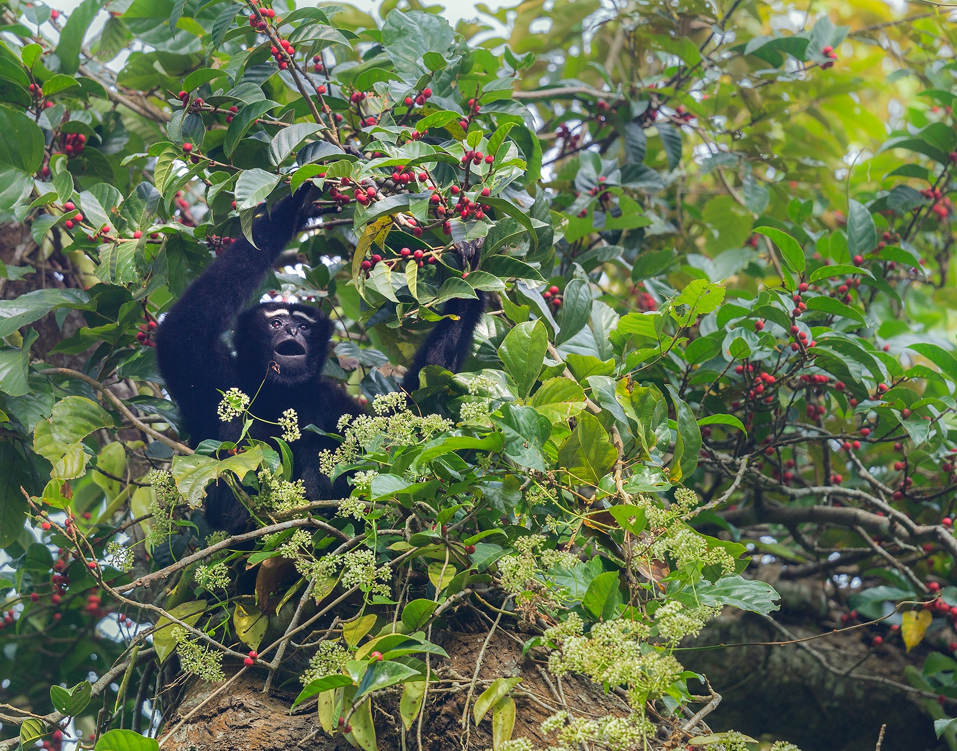 Fruit is a major part of the hoolock gibbon's diet, supplemented by leaves, shoots and flowers. Photo: Arindam Bhattacharya