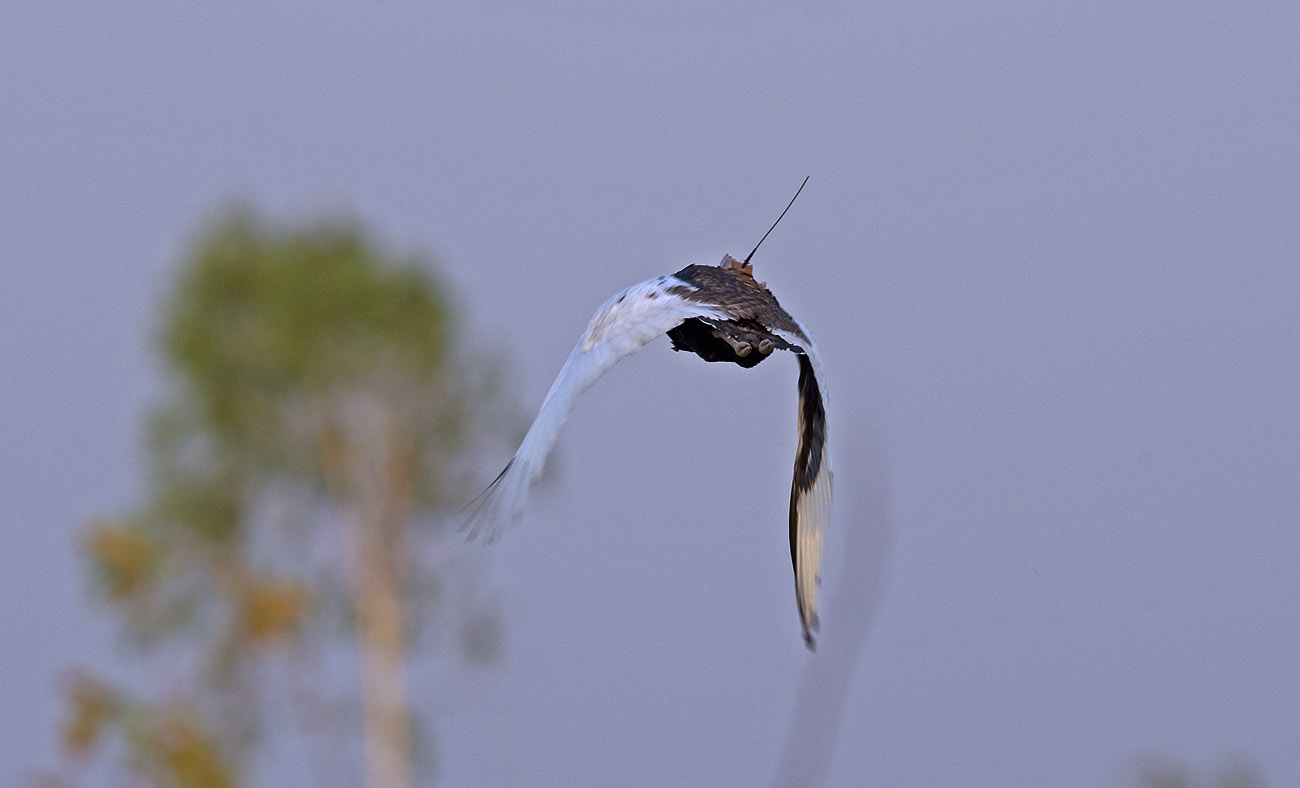 A male florican flies away with the satellite tracking device sticking out from its back. Conservationists who worked with the project claim that the device does not interfere with their flight. Photo: Dhritiman Mukherjee