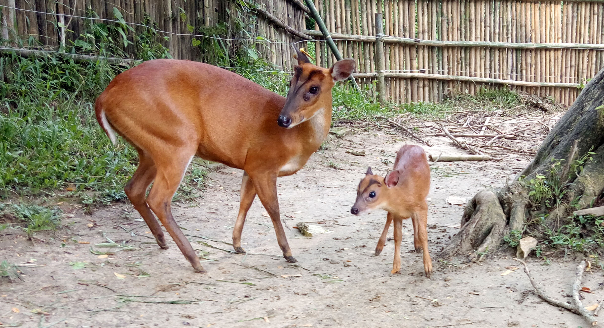 A barking deer, rescued at the Centre, returns every year to safely deliver her new fawns at the campus. Photo: Panjit Basumatary/IFAW-WTI