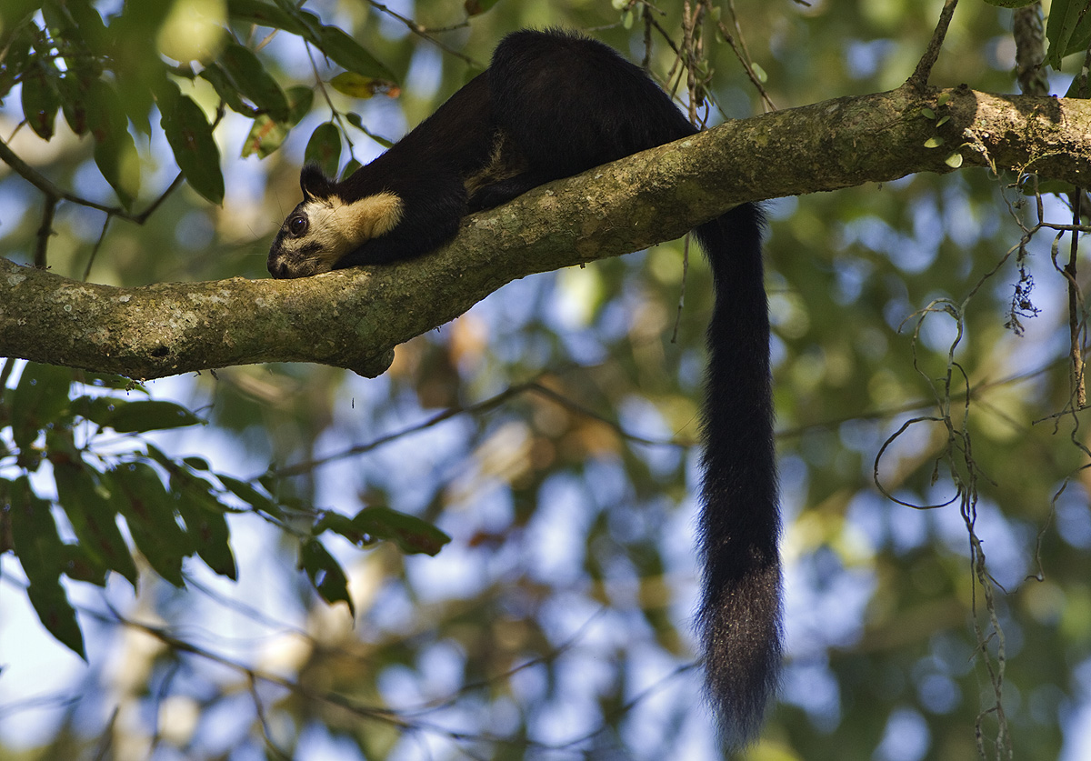Malayan giant squirrels are arboreal; they live and travel mostly among dense, tree canopies. They very rarely climb down to the ground in search of food. Photo: Dhritiman Mukherjee