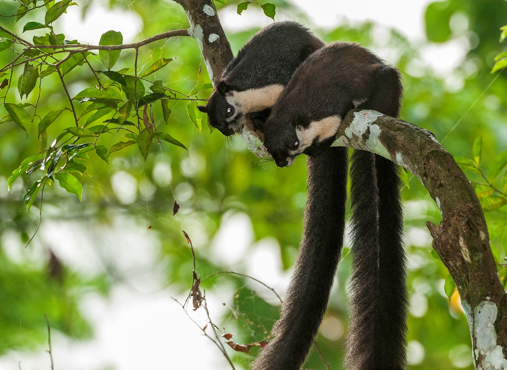 Malayan giant squirrels are mostly solitary animals, except for when they go through playful courtship periods where they chase and groom each other, and build nests together. Photo: Udayan Borthakur