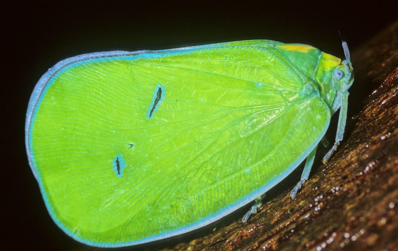 The flatid planthopper spends most of its time sucking plant sap. It is believed that some species of planthopper communicate with others using vibrations transmitted through plant stems. Photo: Sanjay Sondhi