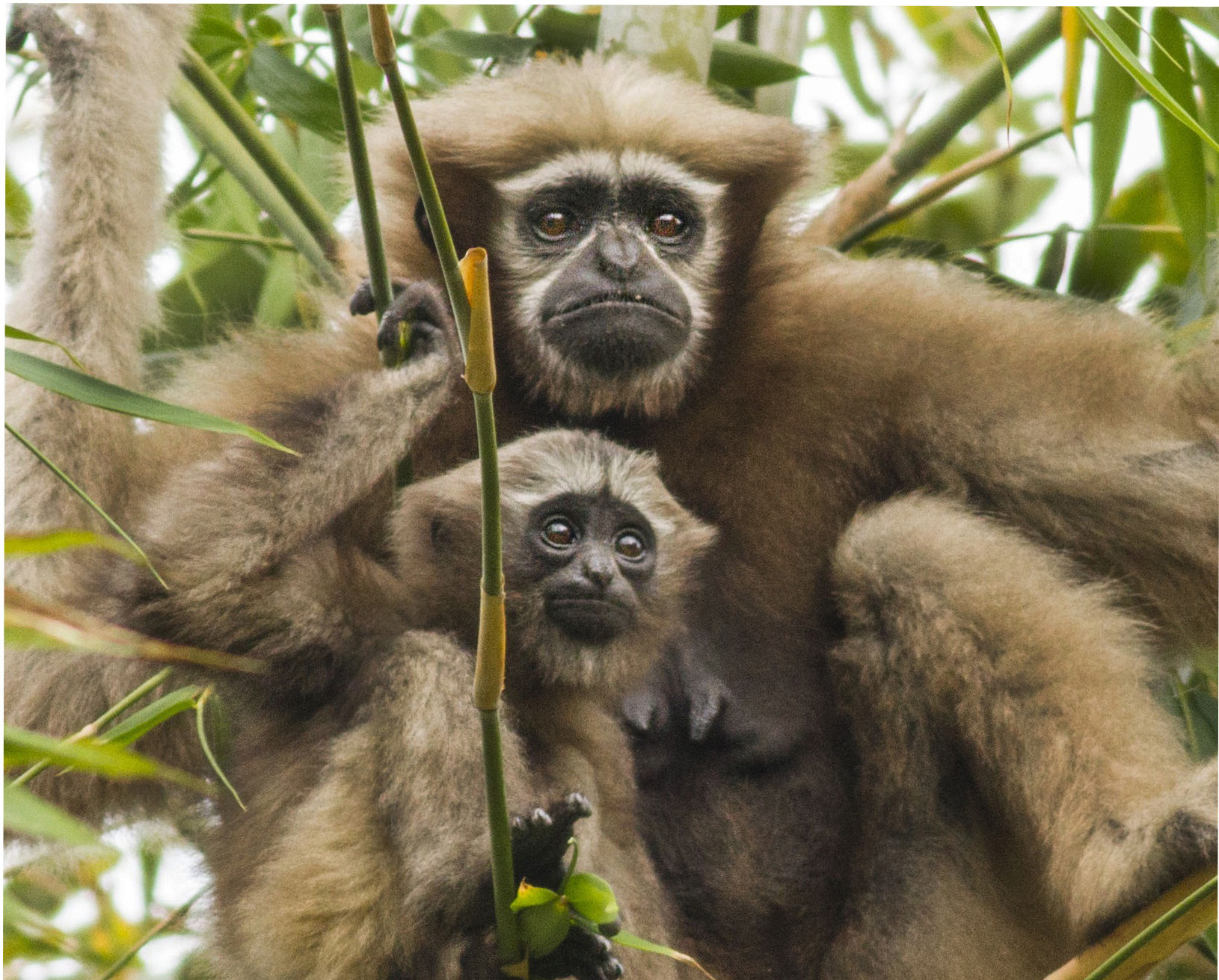 Male and female western hoolock gibbons are similar in size, but dramatically different in colour. Males are black in colour, while females have pale, brown-blonde fur. Both are characterised by distinctive white markings on the face, which they develop as they age. Photo: Diganta Gogoi