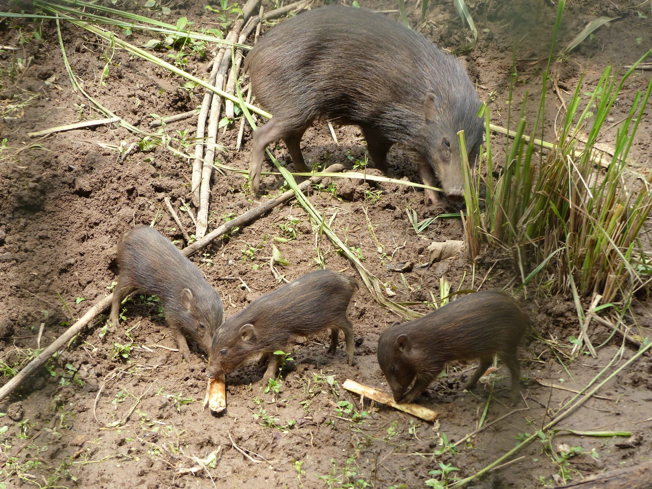 Pygmy hogs have a gestation period of around five months, after which they give birth to three to five young. Photo: Tammo Buss