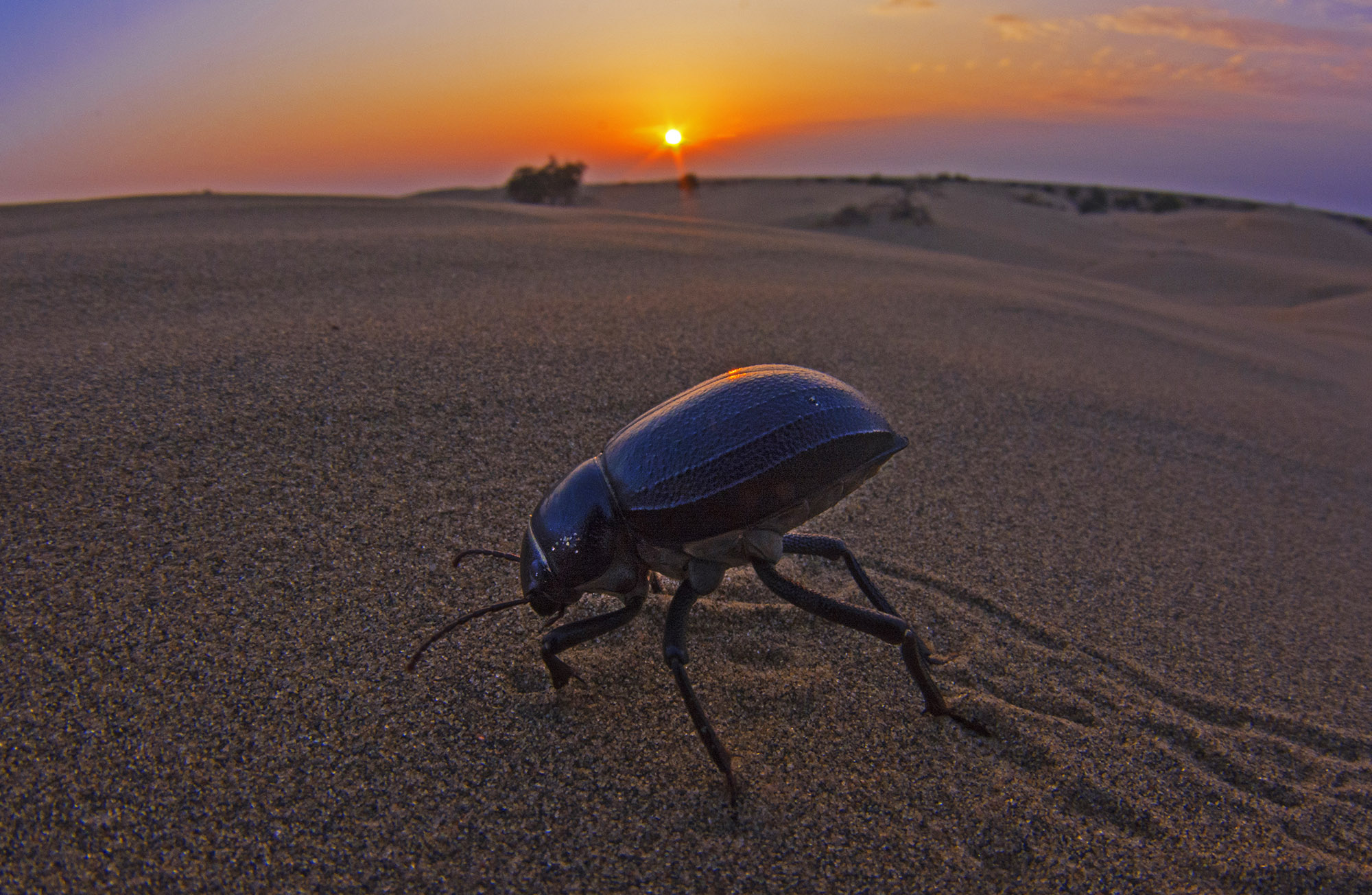 True to their names, dung beetles feed mostly on feces, and are known to carry weight that is more than 1,000 times its own bodyweight. Photo: Dhritiman Mukherjee