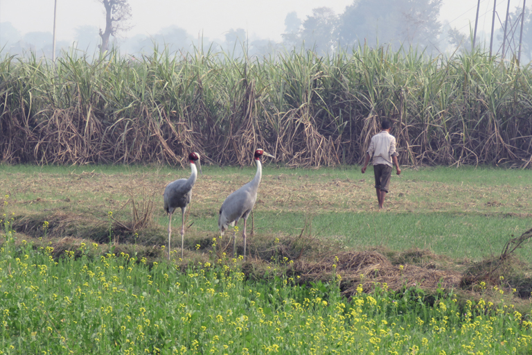 Destruction and conversion of wetlands are one of the main threats to the population of Sarus cranes. Photo: Subrat Kumar Behera