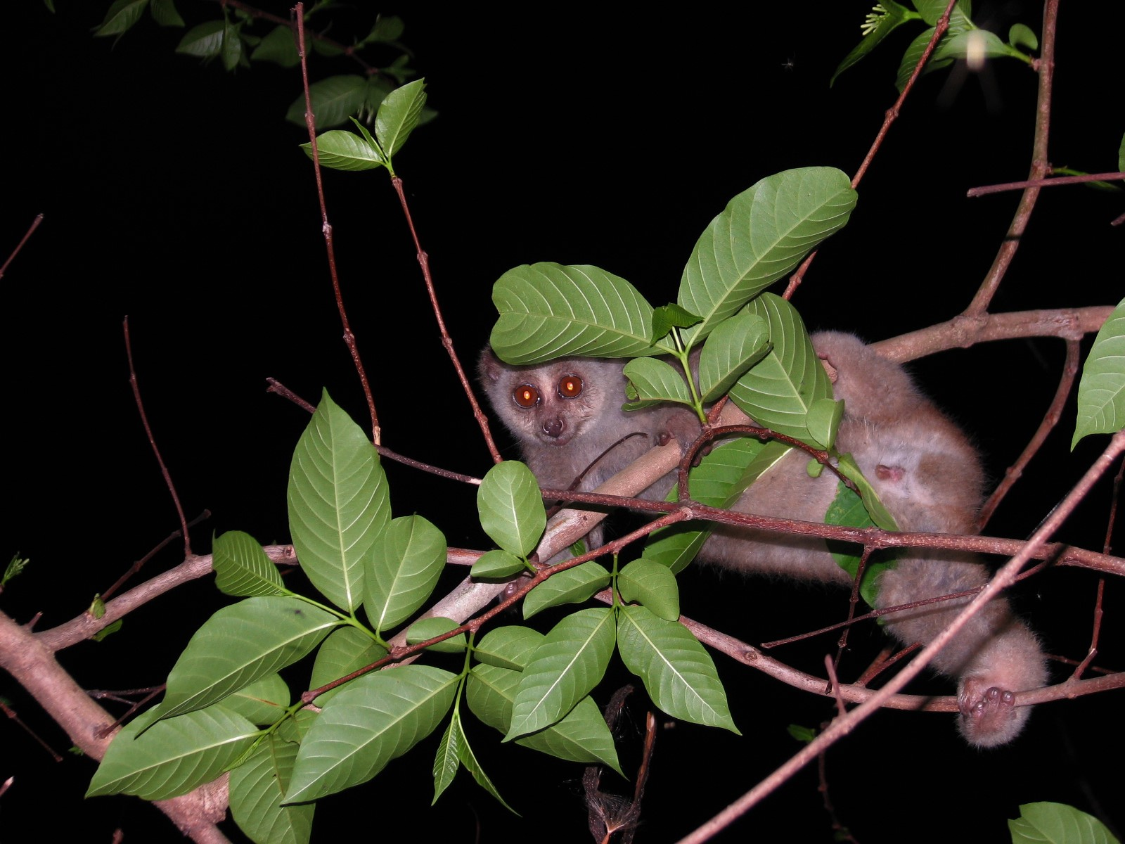 The Bengal slow loris is a little known, nocturnal, arboreal primate with a wide geographical distribution ranging from Northeast India in the west to parts of Vietnam in the east. In India they are known to occur in seven of the north-eastern states excluding Sikkim. Photo: Swapna Nelaballi