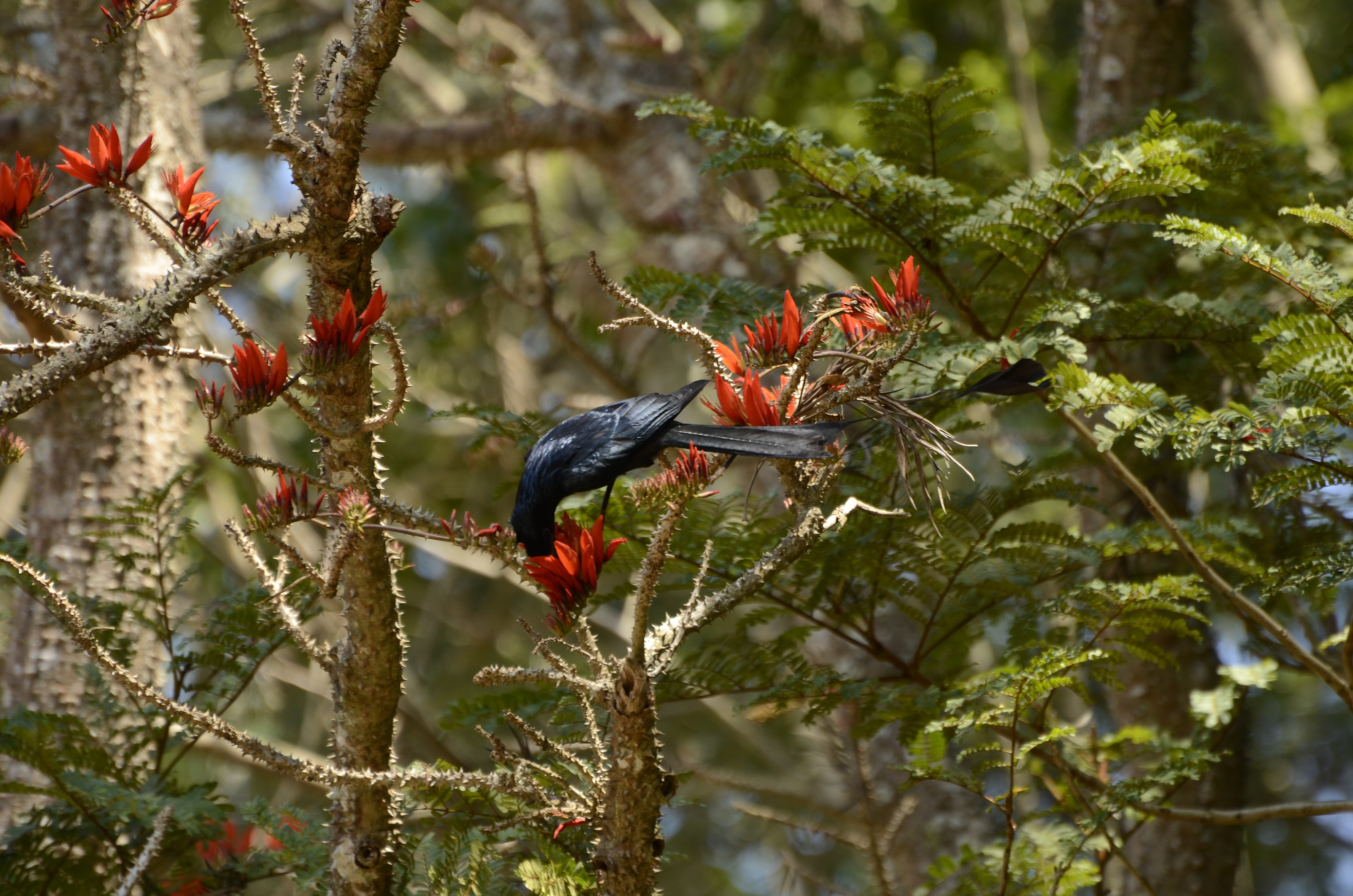 The brilliant, red upright flowers of the Indian coral tree attract birds like the greater racket-tailed drongo. The birds love the abundant nectar and in turn assist in pollination. Photo: P Jeganathan - CC BY-SA 4.0