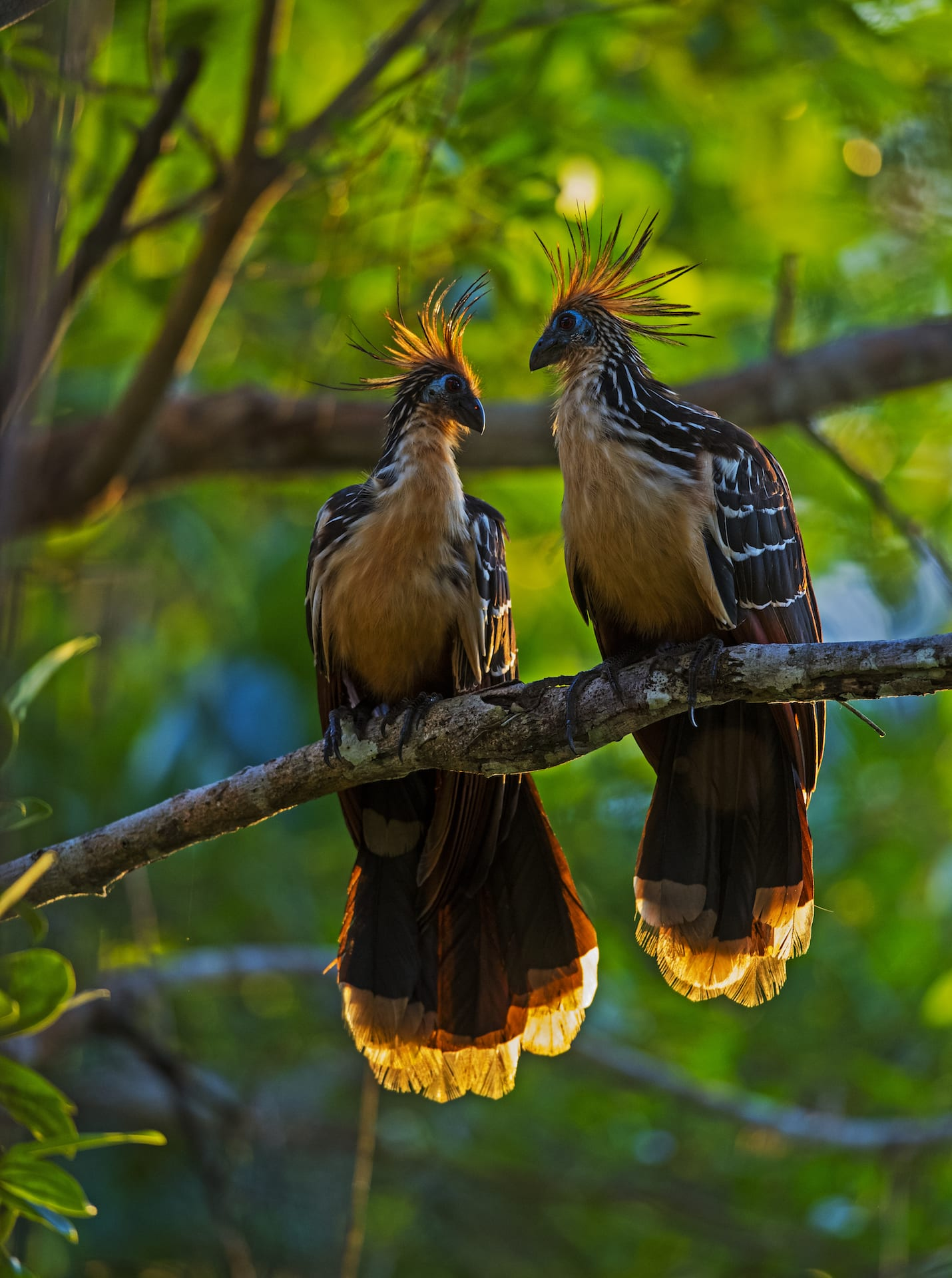 Hoatzins are considered the pruners of the forest canopy. They survive on a diet of leaves, much like bovine animals, and sped their days eating greens, digesting food, and spreading their nutrient-rich poop across the floor. 