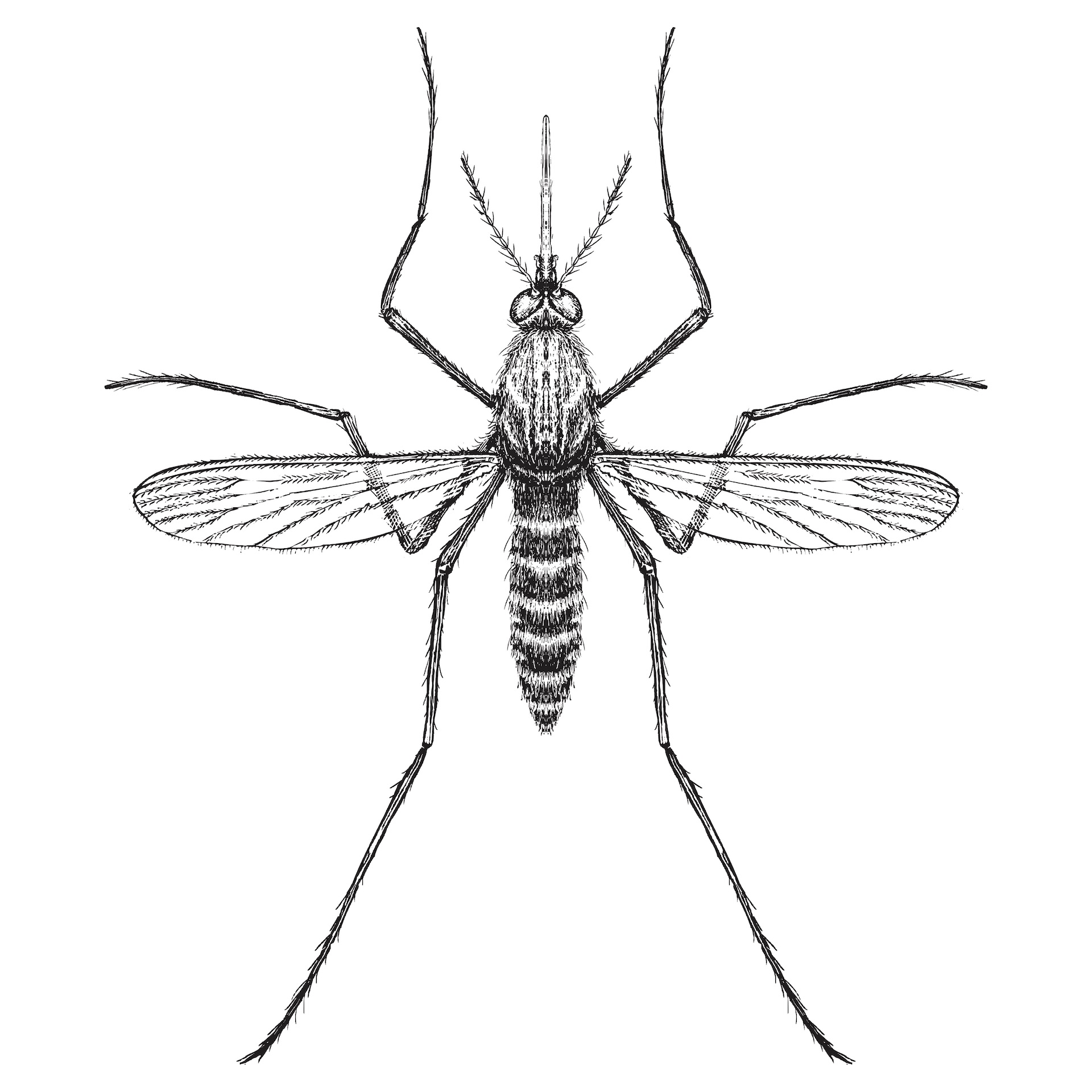 Mosquitoes are members of the fly family. The word mosquito is derived from the Spanish words mosca to mean little fly. Photo: IADA/Shutterstock