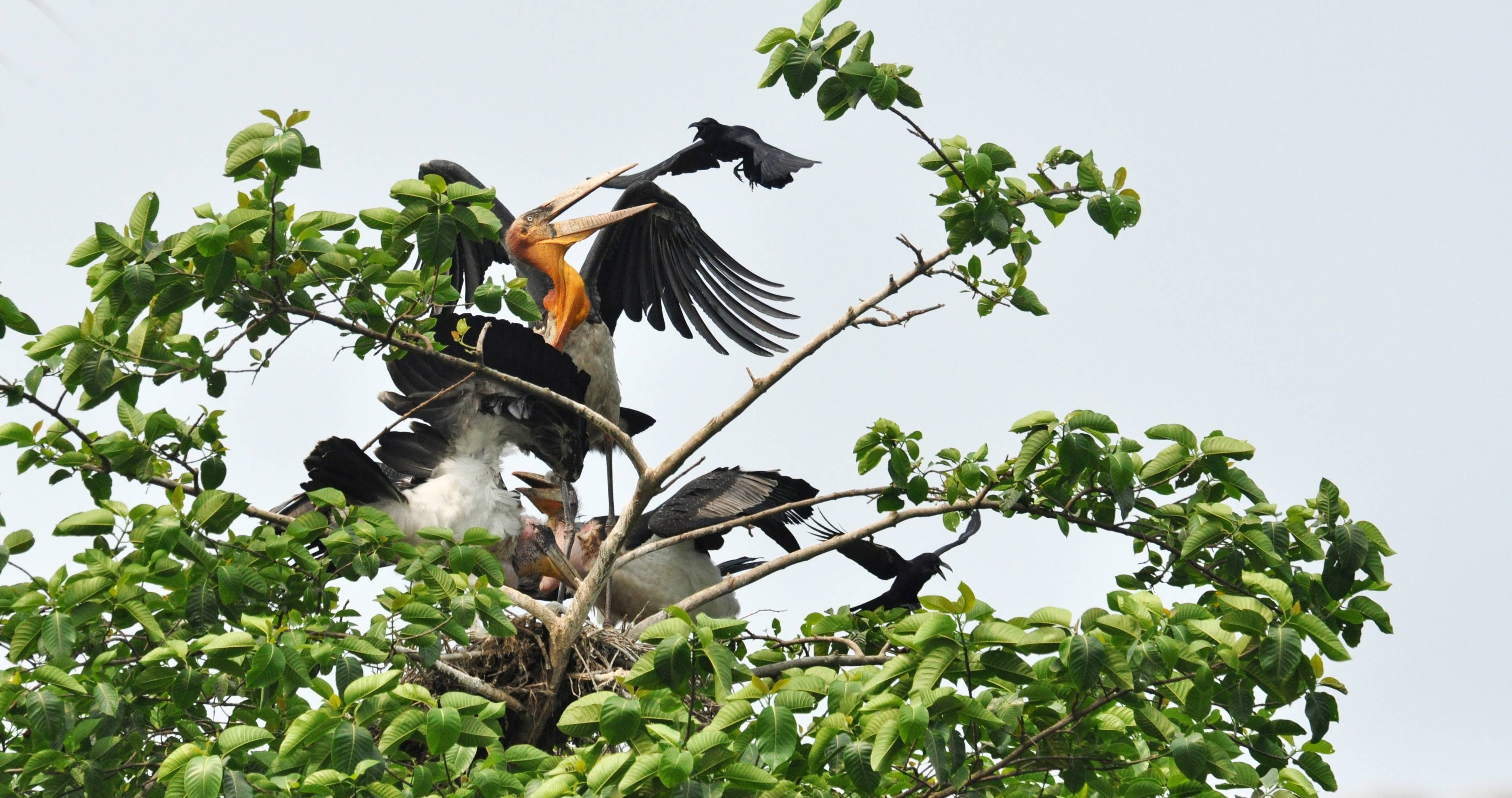 Grassroot community efforts in Bihar and Assam have brought the bird back from the brink. Though the bird remains endangered its future no longer seems as bleak as it did a decade ago. Photo courtesy: Arvind Mishra