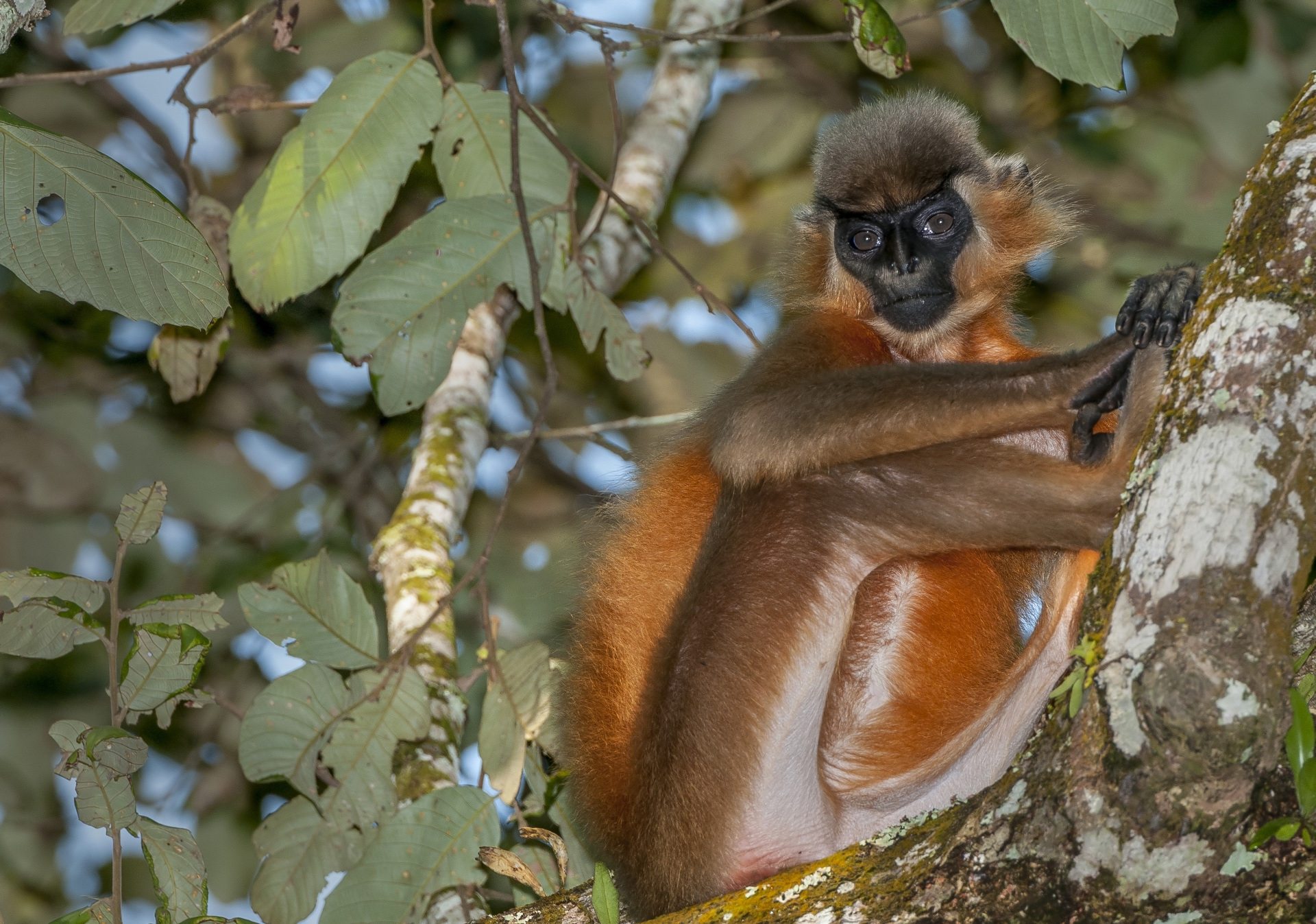 On a good sunny day, capped langurs with their black cap and bright golden-orange fur, is easily spotted in a dense canopy. However, their population is on a steep decline and the species is listed as 'Vulnerable' on the IUCN Red List. Photo: Udayan Borthakur