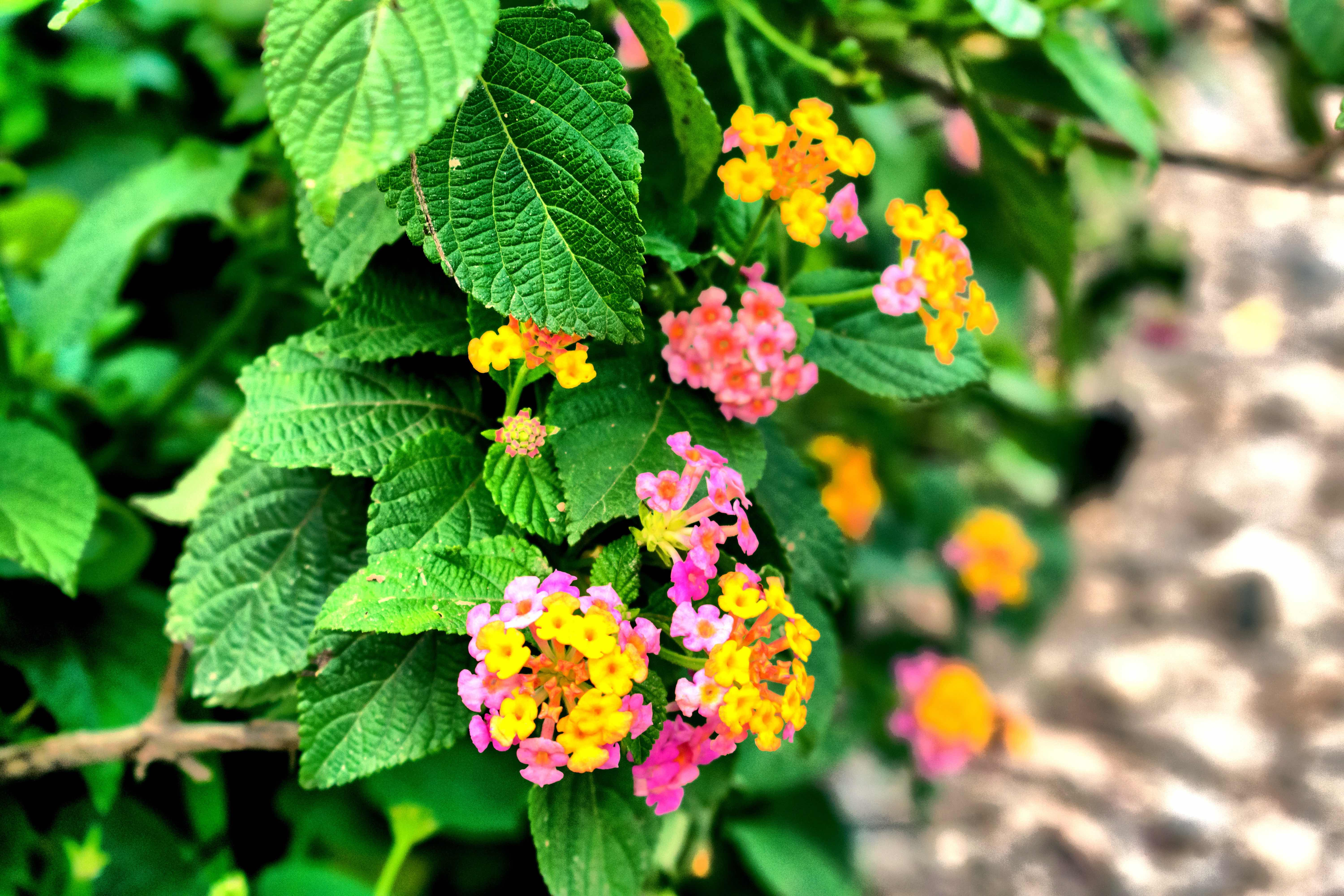 Indian lantana (Lantana camara) is an invasive species plaguing Hollongapar Gibbon Sanctuary. It was first introduced in India in the early 19th century as an ornamental plant but has now spread across several key habitats. Photo: Samratmaina2019 - CC BY-SA 4.0