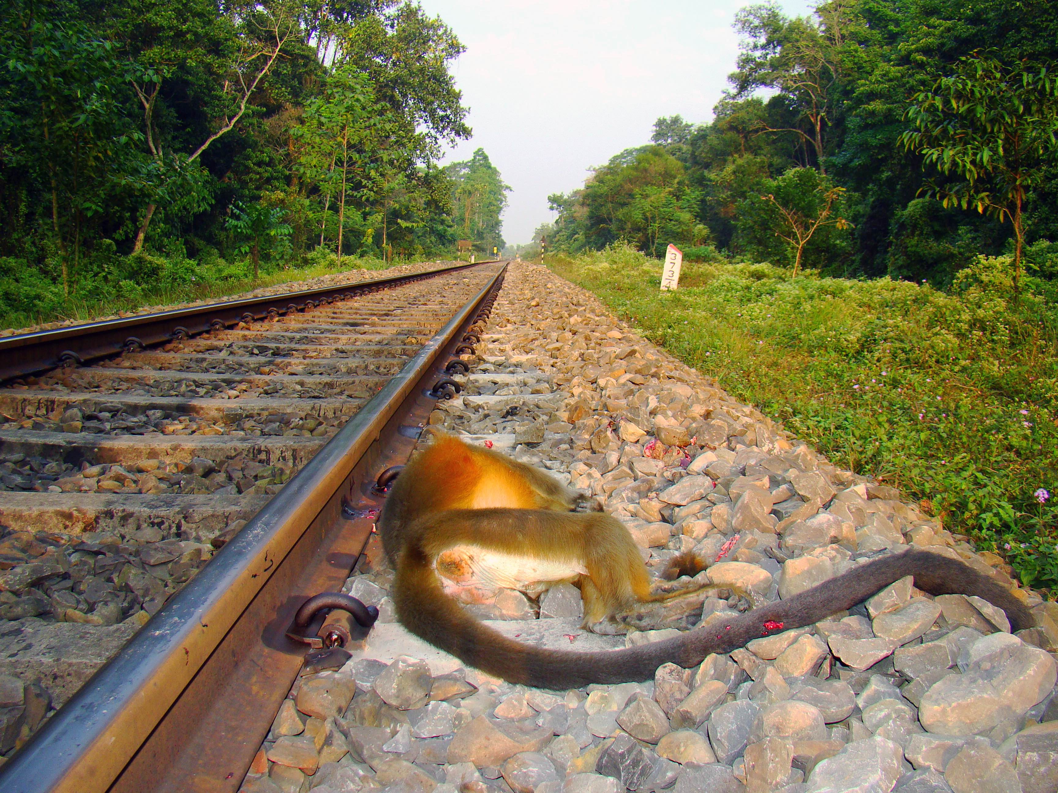 A century-old railway line, which connects some of Assam's major towns, slices through Hollongapar Gibbon Sanctuary. Capped langurs trying to cross the line often fall victim to a speeding train.  Photo: Narayan Sharma
