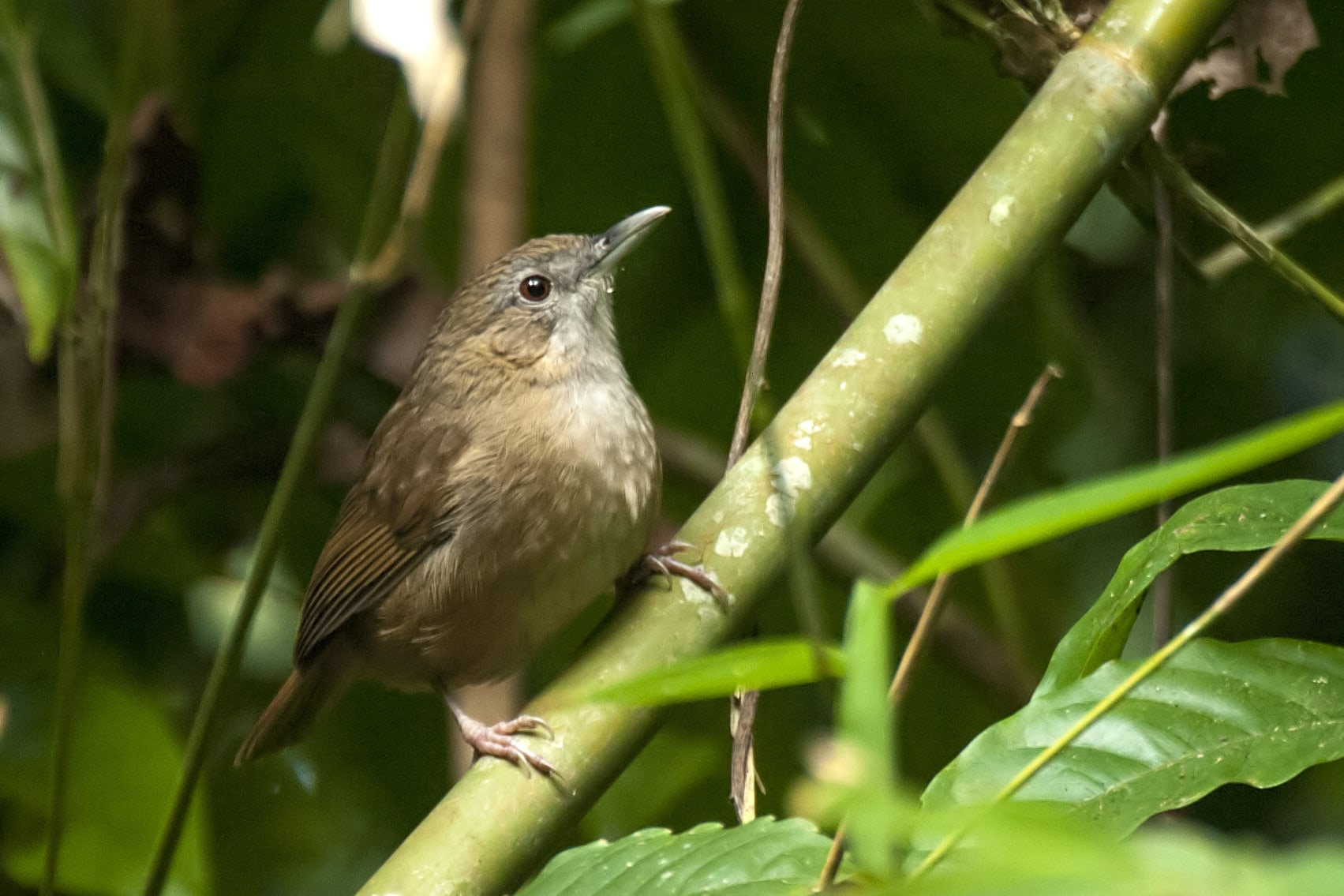 The Abbott's babbler is what birders refer to as a skulker, a bird which mostly remains within the cover of vegetation. Photo: Udayan Borthakur