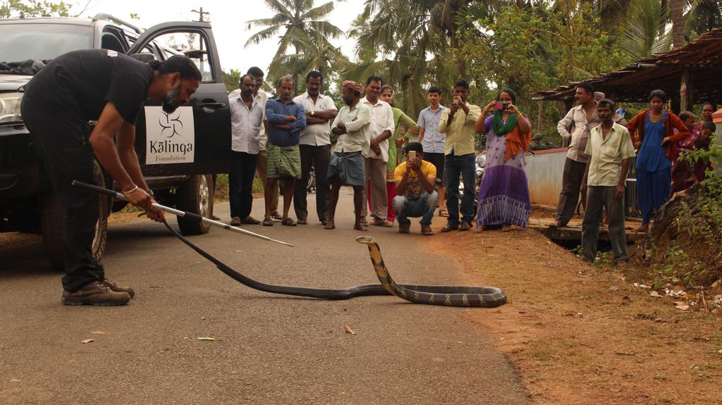 The locals of Agumbe, who were initially hesitant to accept a stranger from Bengaluru in their village, took a liking to him after he started rescuing king cobras from conflict situations. Photo Courtesy: Kalinga Centre for Rainforest Ecology