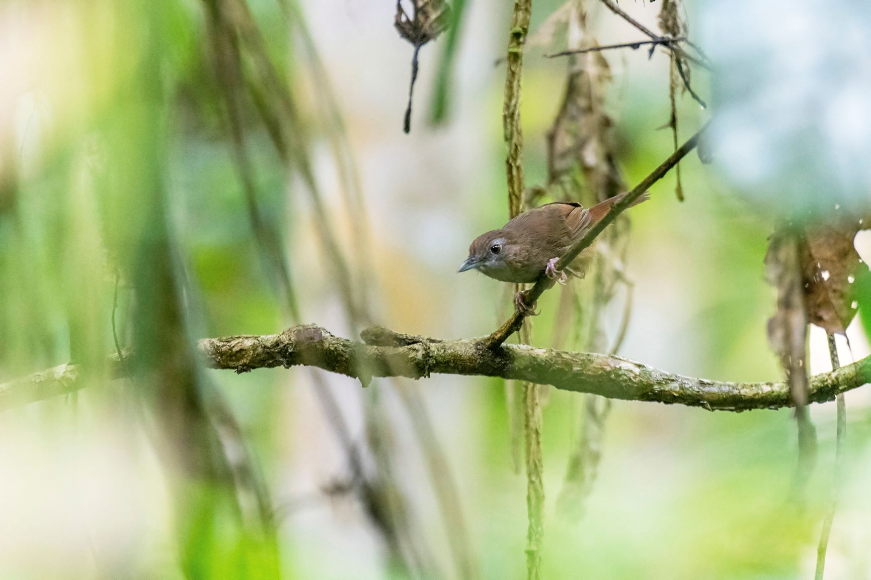 The Abbott's babbler is a short-tailed brown bird with red eyes, commonly found in Northeast India. Photo: Udayan Borthakur