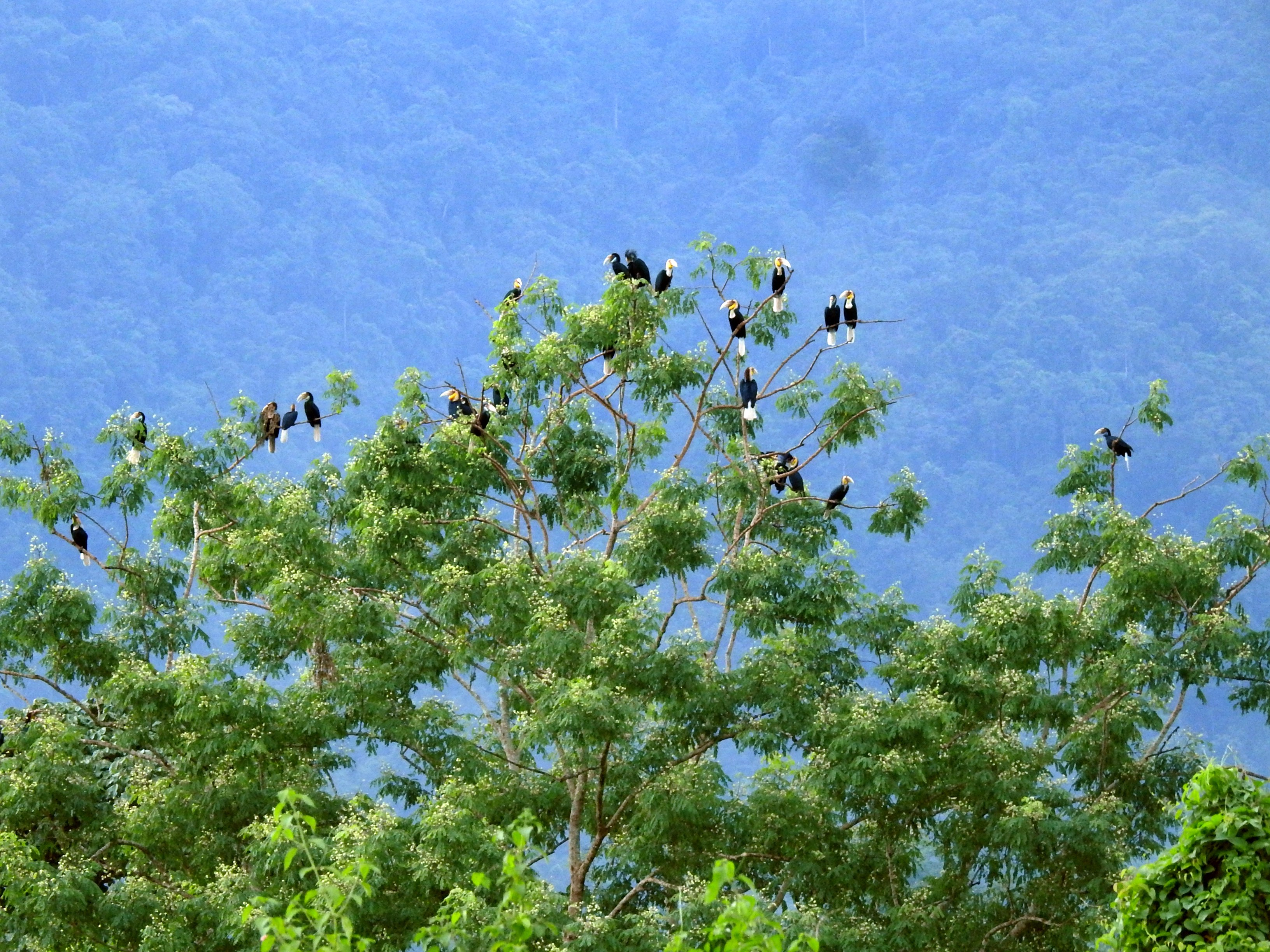 Wreathed hornbills are communal roosters, settling in large numbers to roost together for the night. Photo: Aparajita Datta