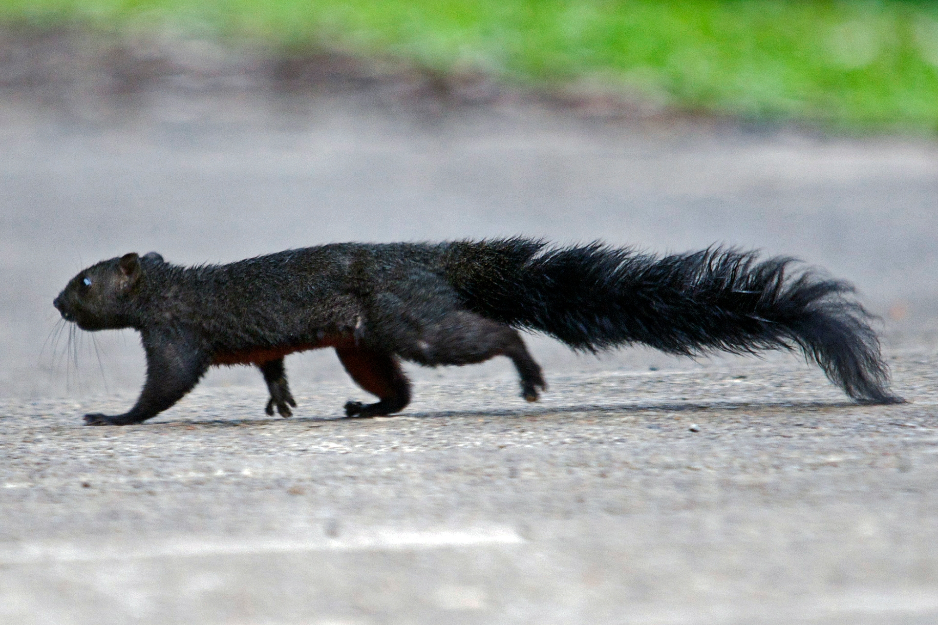 The Pallas's squirrel is most active at dawn and dusk. It is a medium-sized squirrel with a body that is 16-28 cm long, and a tail that is about the same length. Photo: Vijay Anand Ismavel