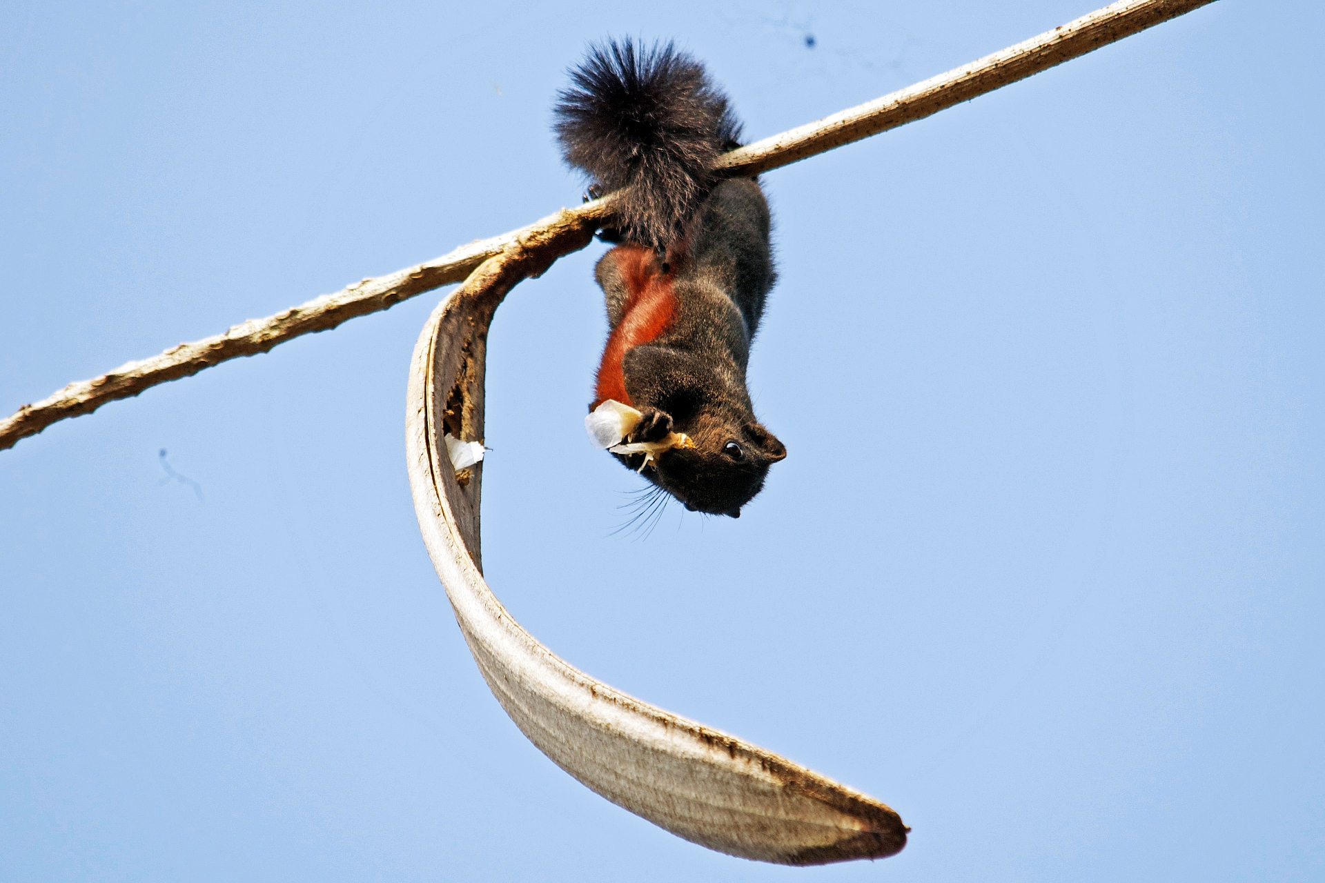 Owing to the reddish tint on its tummy, the Pallas's squirrel is also known as the red-bellied tree squirrel.   Photo: Vijay Anand Ismavel
