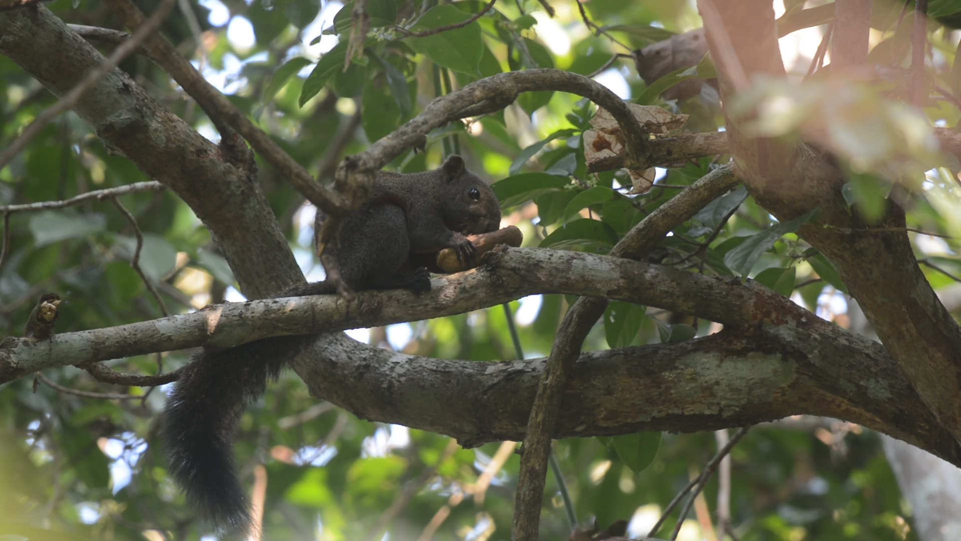 Pallas's squirrels primarily feed on fruits and seeds though it adapts to seasonal changes and also consumes leaves, flowers, as well as insects and bird eggs on occasion. Photo: Abir Jain