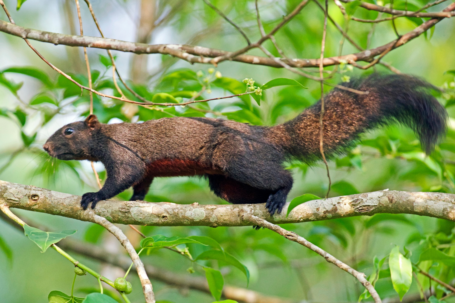 The Pallas's squirrel has strong claws which allow it to grip branches firmly, or dig holes to store nuts. Photo: Vijay Anand Ismavel