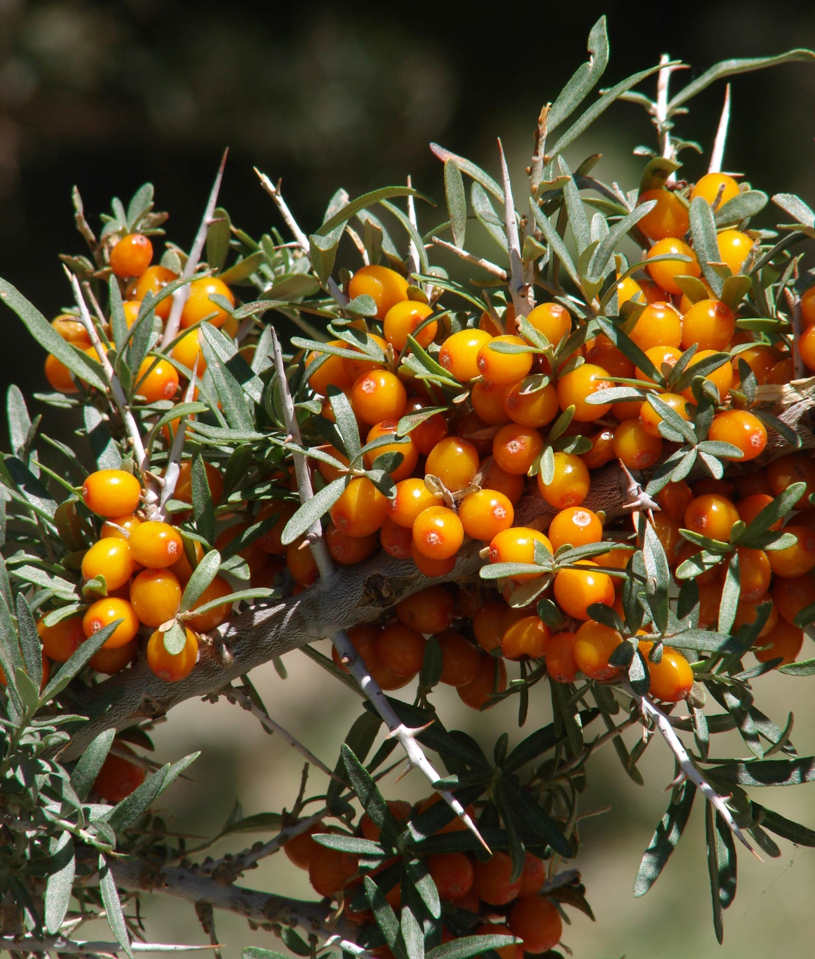 Overharvesting of sea buckthorn berries in Ladakh threatens the sea buckthorn moth, which lays its eggs on this shrub. Photo: Karunakar Rayker – CC BY-SA 2.0