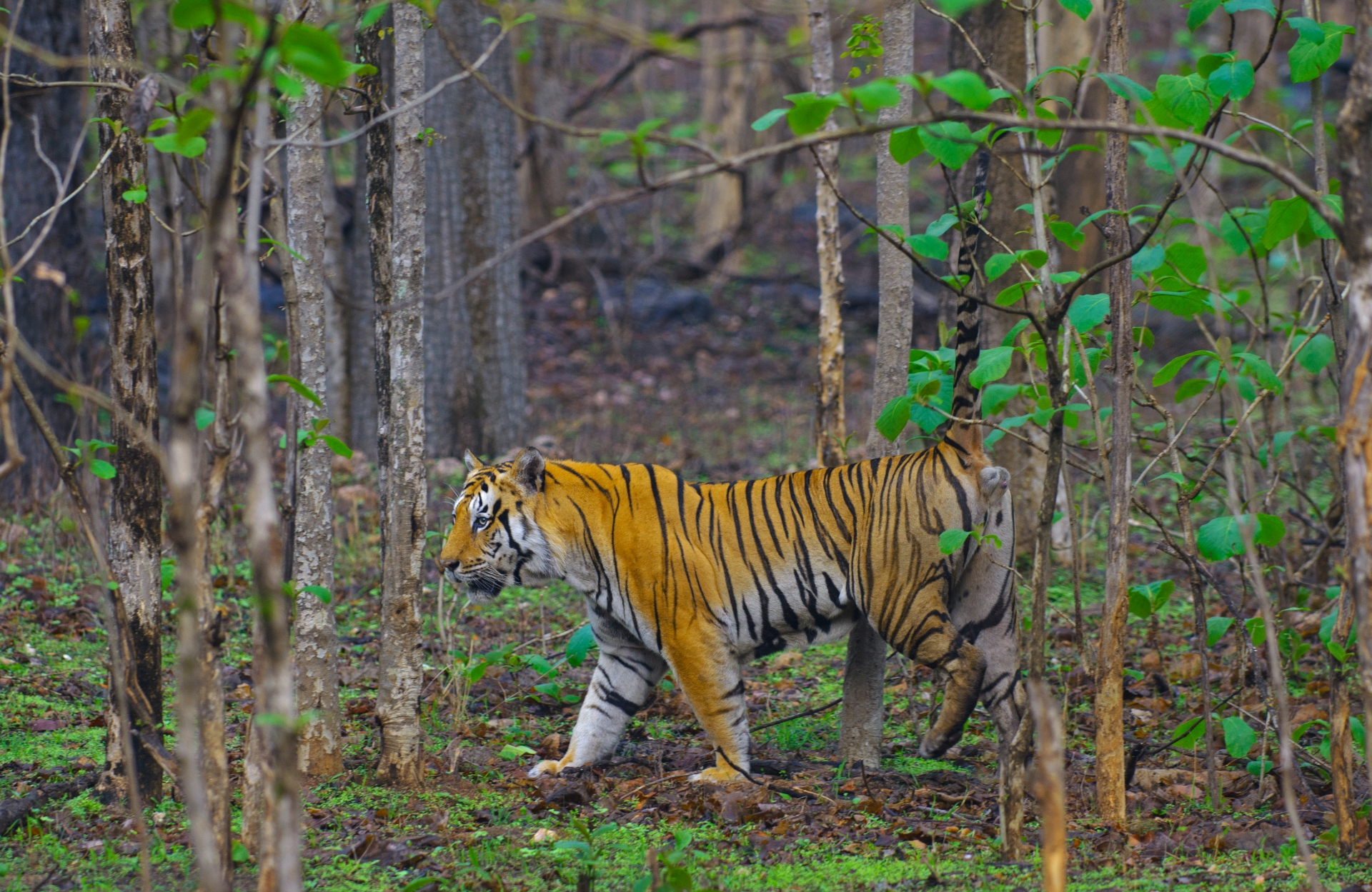 Tigers are territorial creatures, and a single cat's home turf is upwards of 20 sq km. Shrinking forests and sharing the same patch of land leads to territorial wars between the animals, often with grievous outcomes. Photo: Dhritiman Mukherjee