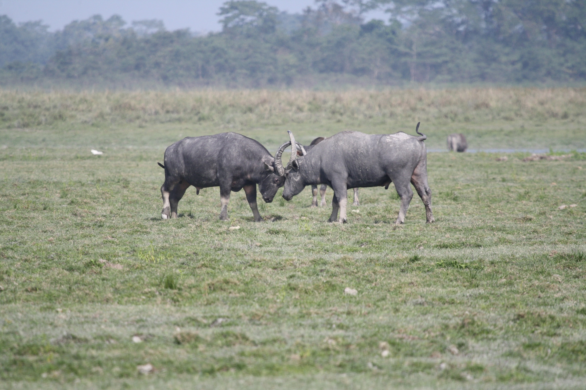 Wild water buffalo sport enormous curving horns, spanning up to two metres in length, making it a formidable enemy.  Photo: Raju Kasambe - CC BY-SA 4.0