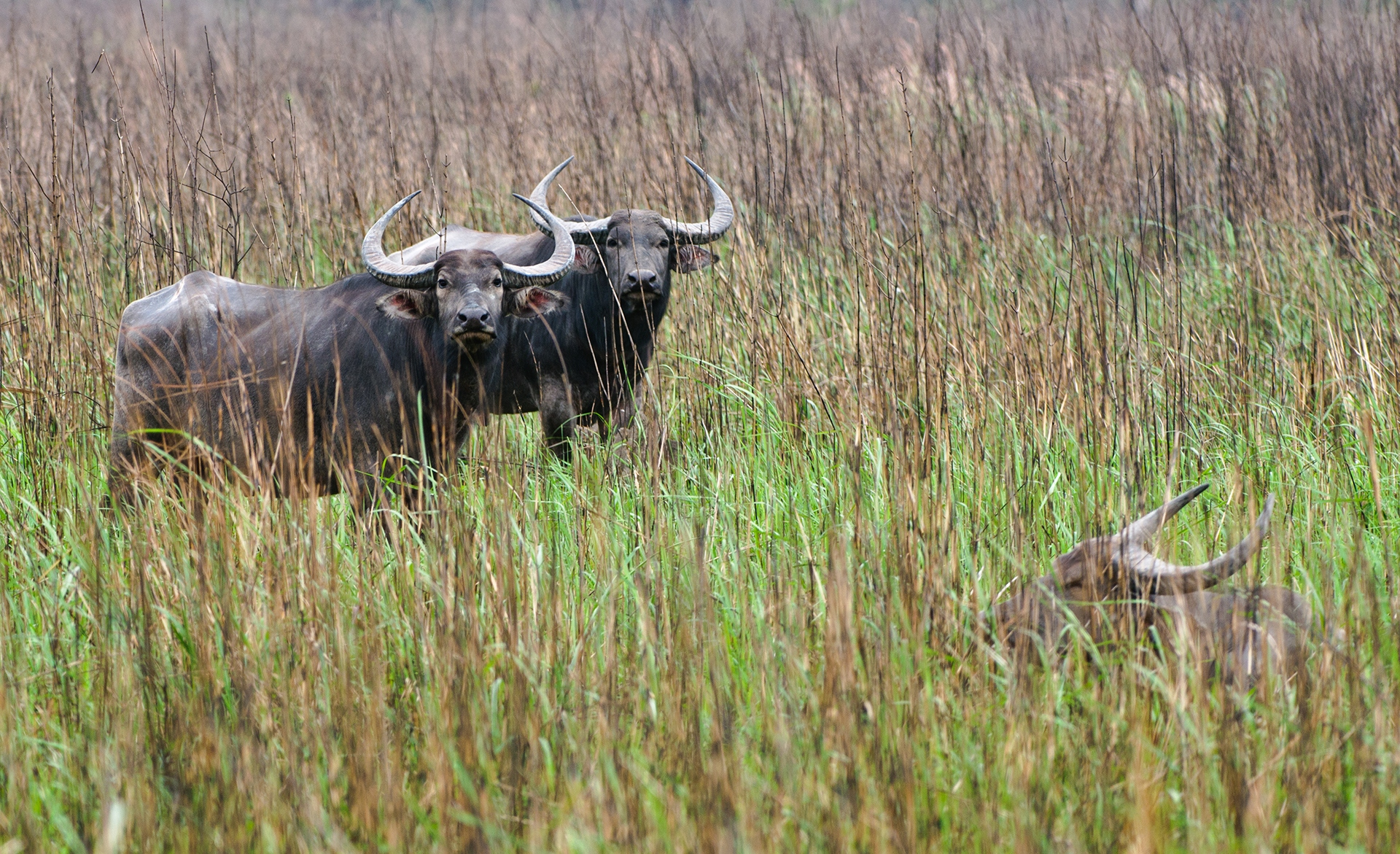 The wild water buffalo population is on the decline. In India it is estimated to be around 2,800-3,000 individuals. Photo: Udayan Borthakur