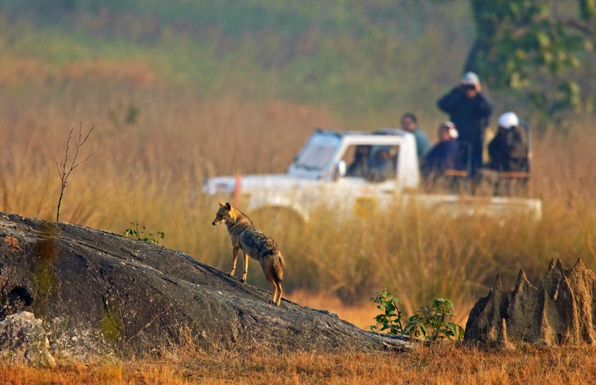 Caption: The short-statured Indian jackal often waits among tall grasses, hoping to chance upon a meal. They are predators as well as scavengers, hunting small rodents and cleaning up after a tiger or dhole's kill.