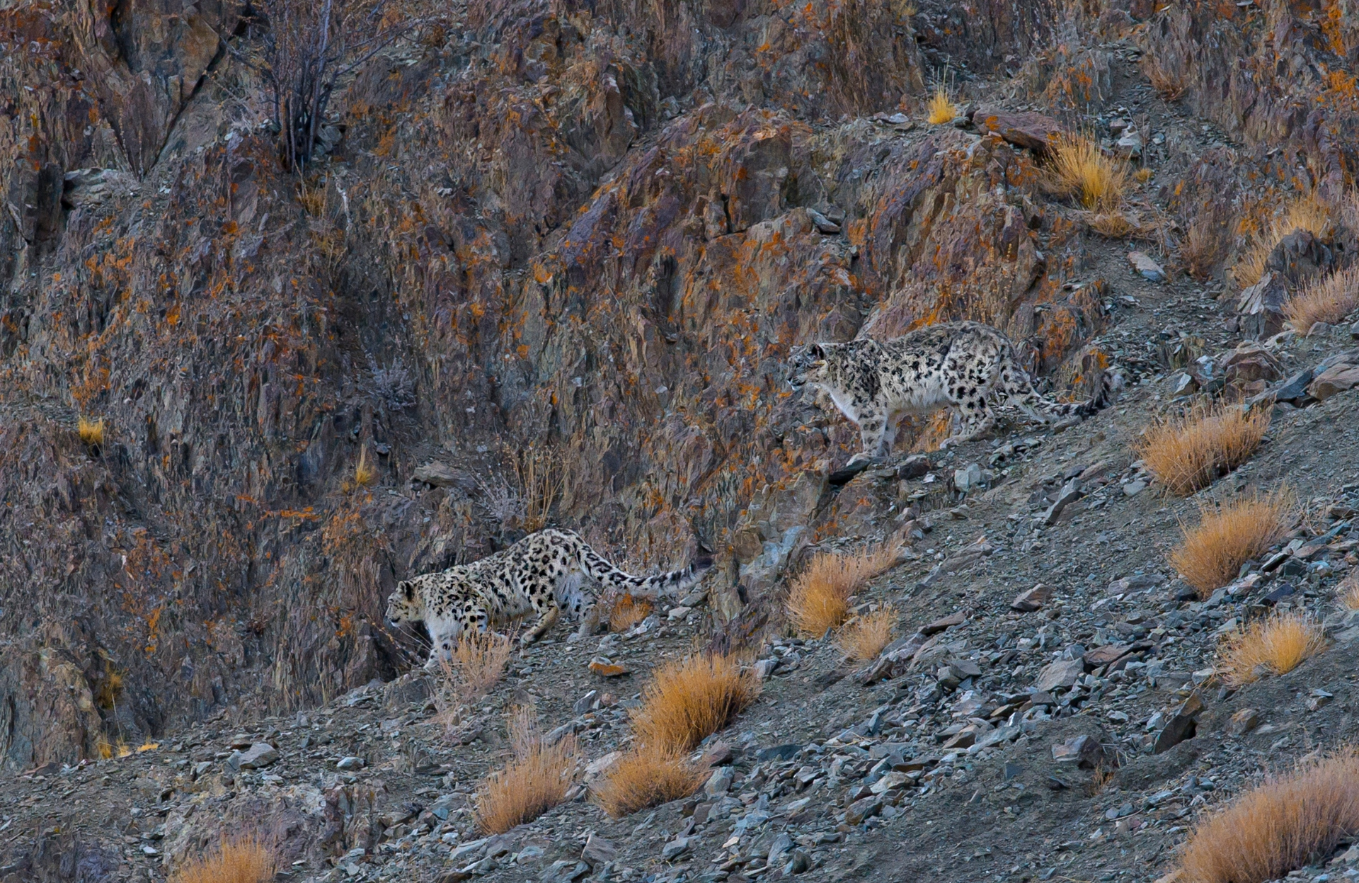 (Top) The snow leopard's exceptionally long and bushy tail helps it balance itself in its steep mountainous habitats and keep itself warm while resting. (Above) Snow leopards are medium-sized carnivores, slightly smaller than the common leopard. They are genetically closer to tigers than to leopards.  Photos: Dhritiman Mukherjee