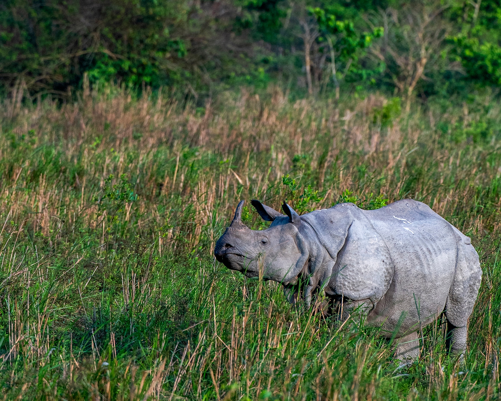 Spotting a greater one-horned rhinoceros in Kaziranga National Park is not a challenge. The park has the largest number of rhinos in the world. Despite several challenges, it is known as the pachyderm's most secure habitat. Photo: Udayan Borthakur