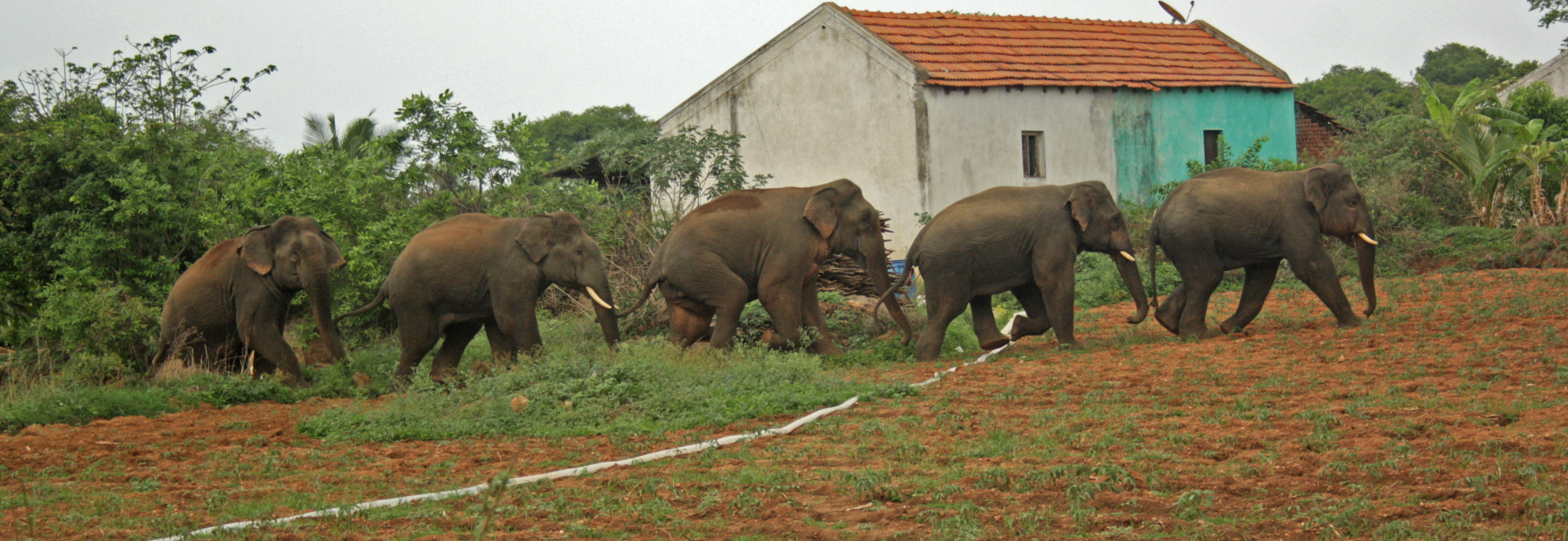 The research team set up camera traps that filmed herds of all-male elephants who stuck together. This was mostly seen in habitats encroached on by agricultural production or human intervention. Here, an all-male group walks through a human settlement. Photo: FEP/Vinod Kumar Moses </br> Cover Photo: Like human beings, elephants have complex social lives. As females mature, they stay on with the herd they were born into. Young males, it is believed, are chased away, and often lead solitary lives. They will often fight over females during the breeding season. Photo: Arindam Bhattacharya