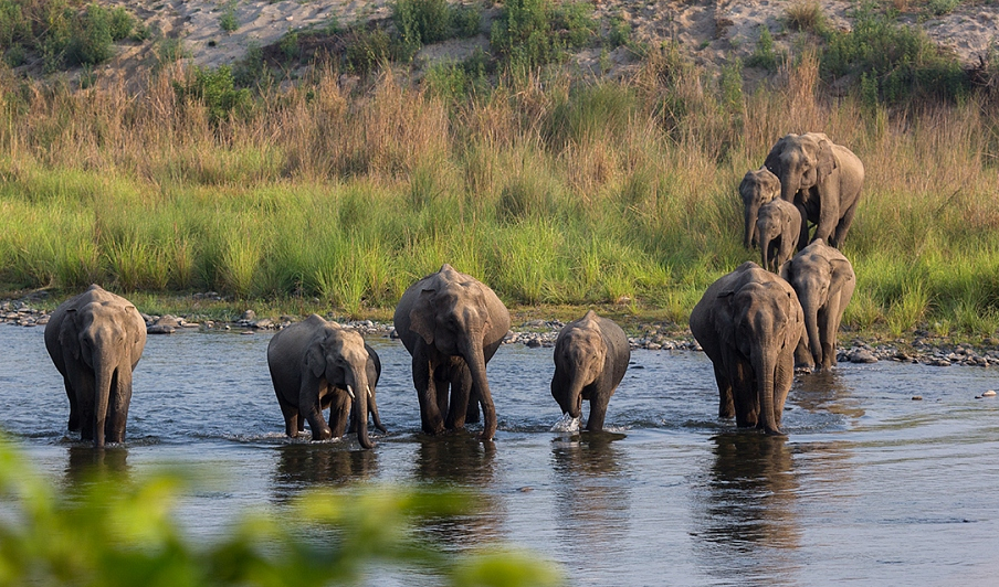 Elephants normally live in multigenerational herds, where mothers, daughters and juvenile males, easily identified by their tusks, live together. The herd is led by the oldest female or the matriarch. Photo: Arindam Bhattacharya