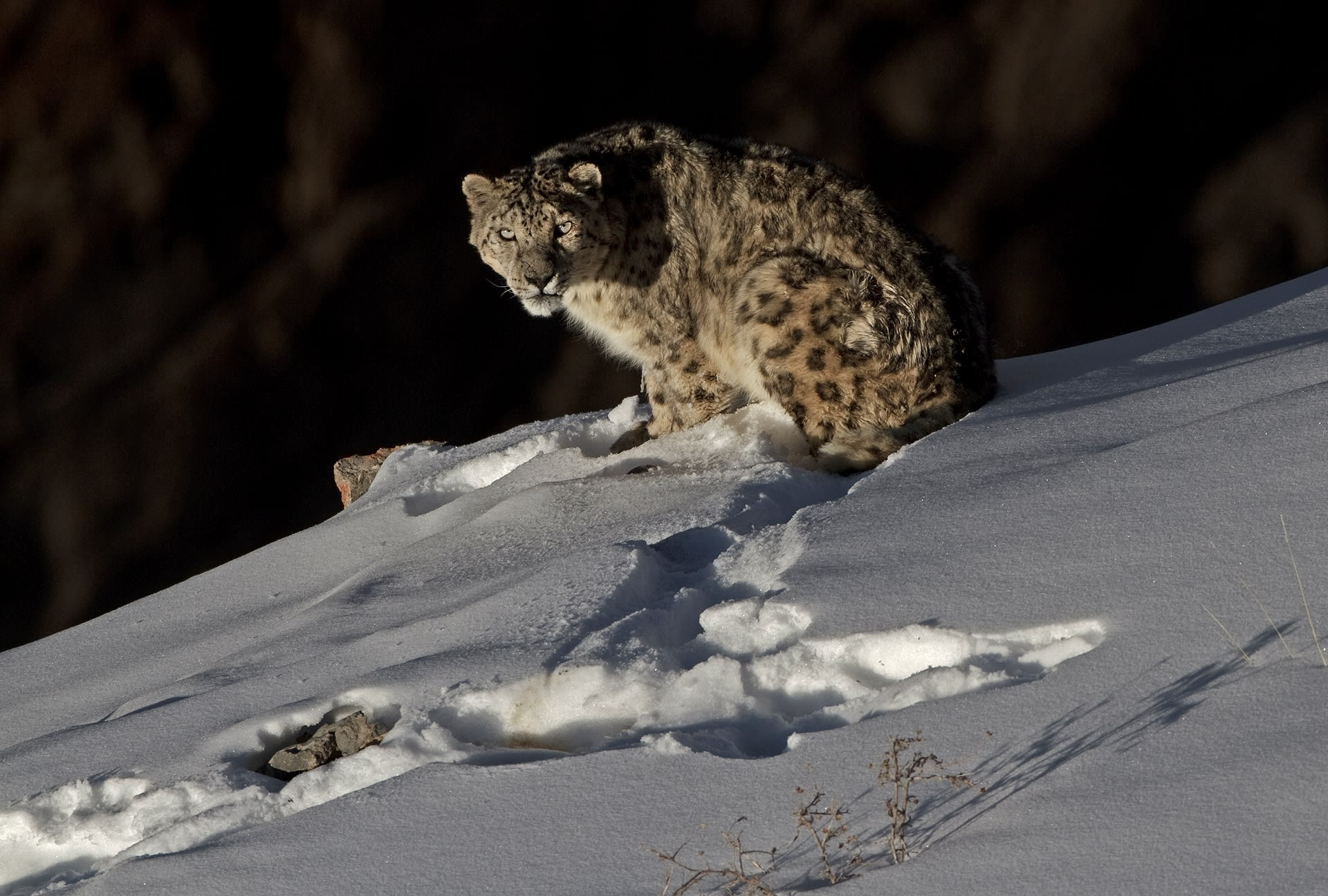 The snow leopard's underfur reaches a thickness of around 12 cm, affording it protection against the extreme cold in its harsh mountain habitat.  </br>The snow leopard's ability to blend with its surroundings and to disappear at will earns it the title 'Grey Ghost of the Mountains' or 'Ghost Cat'. Photos: Dhritiman Mukherjee